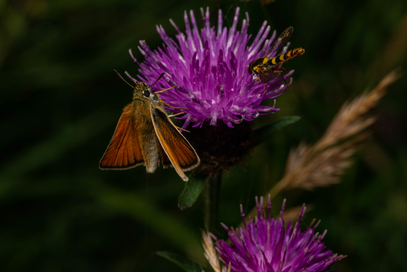 Small Skipper with Hover Fly