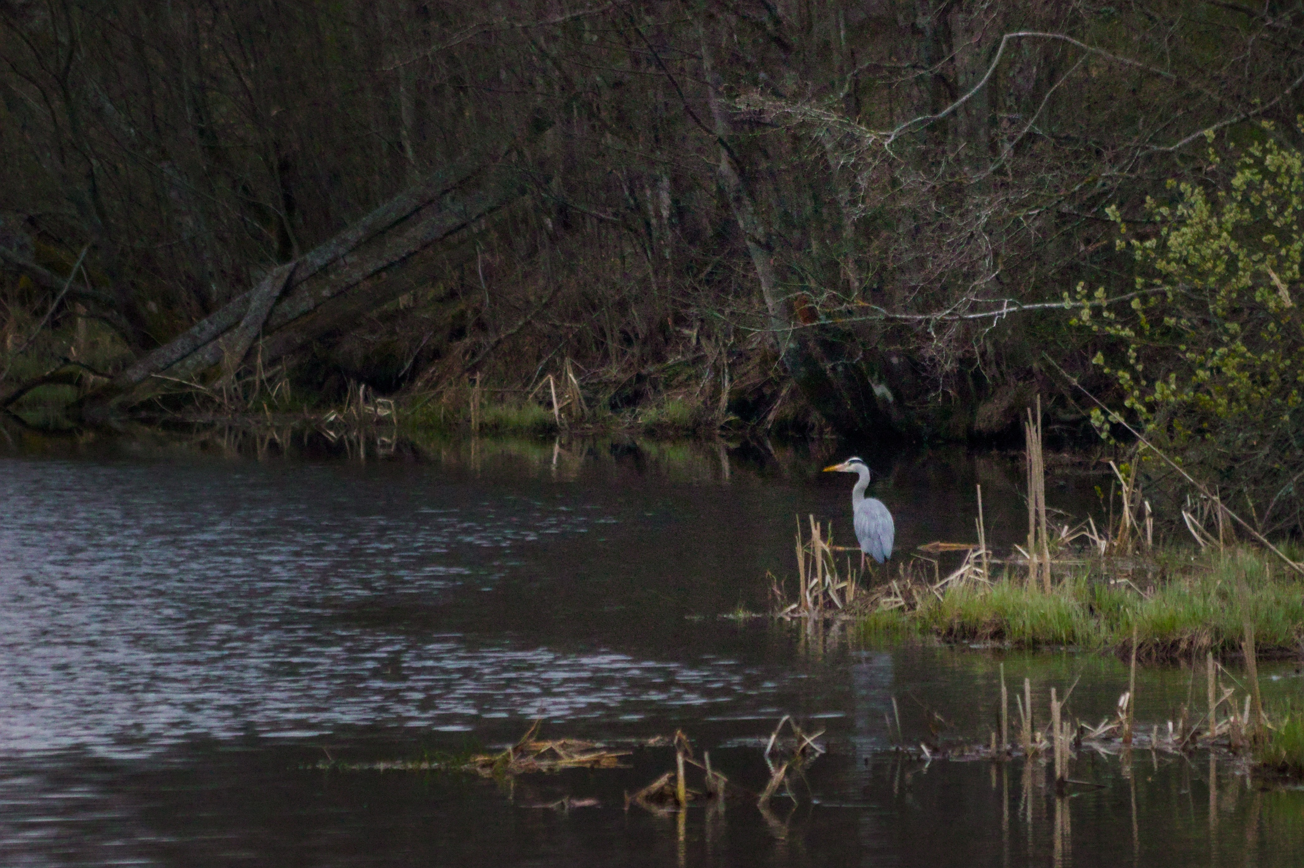 Heron on the lookout