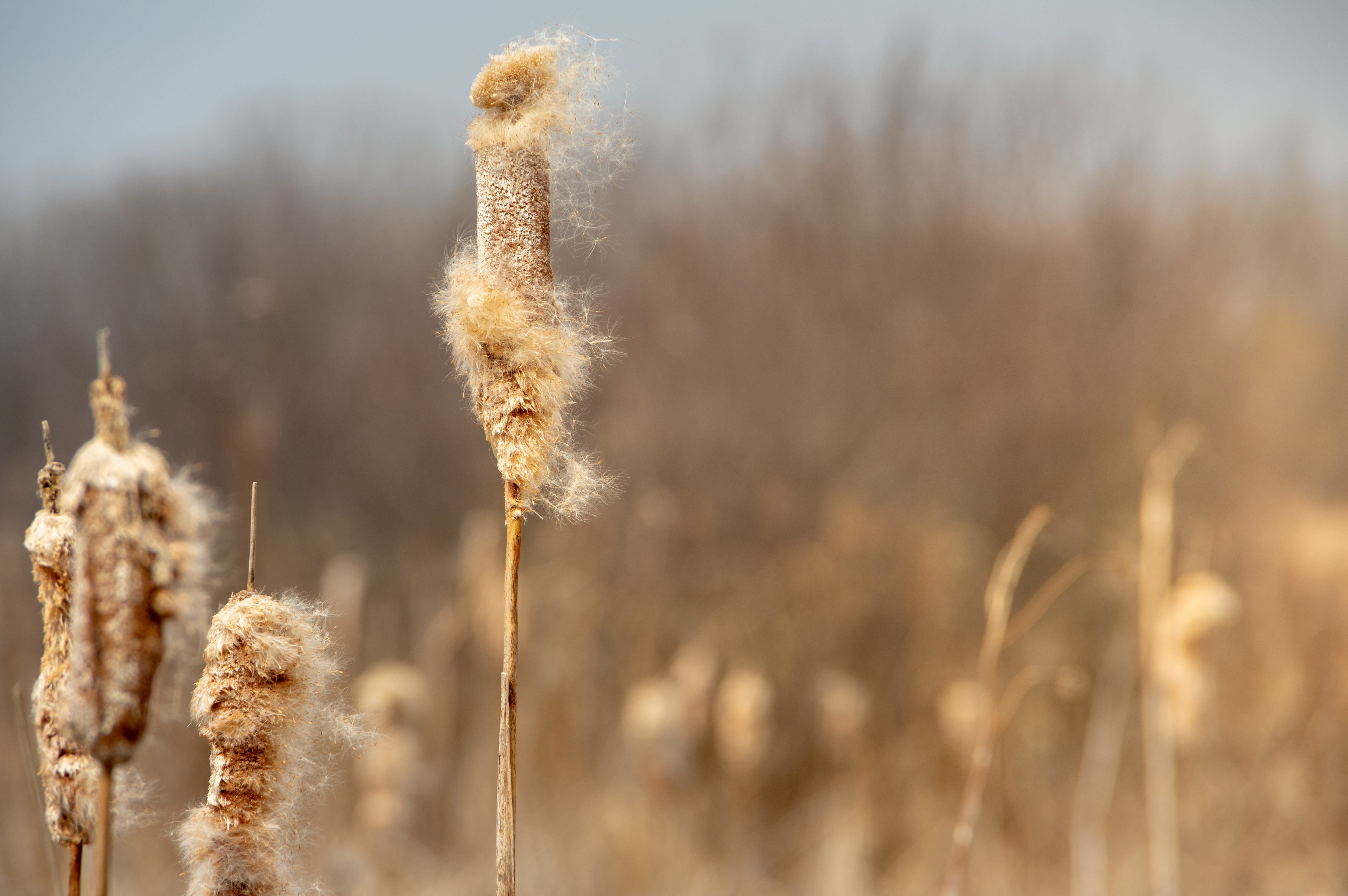 Cattails in Prairie