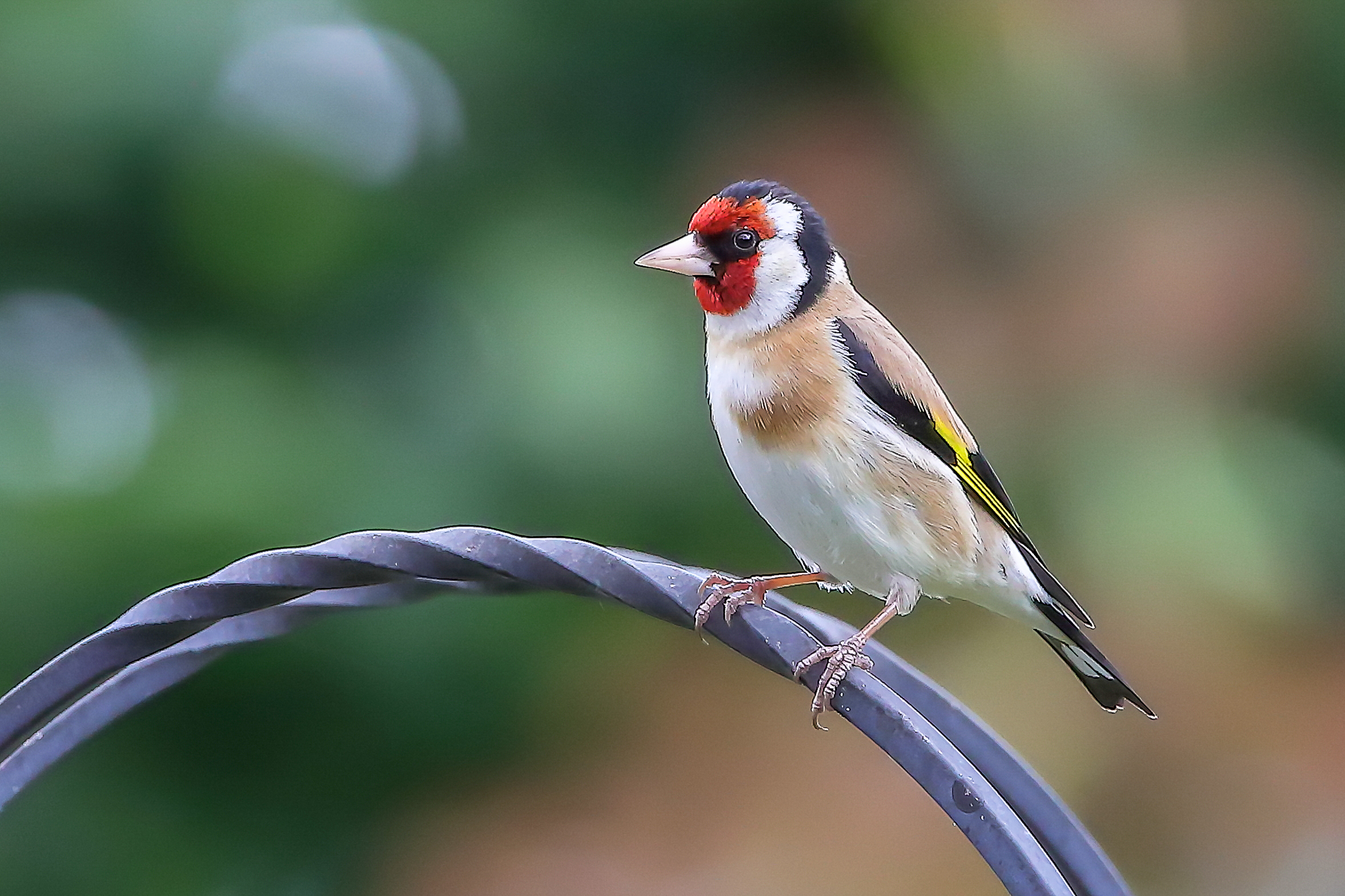 Goldfinch by Clive Wells