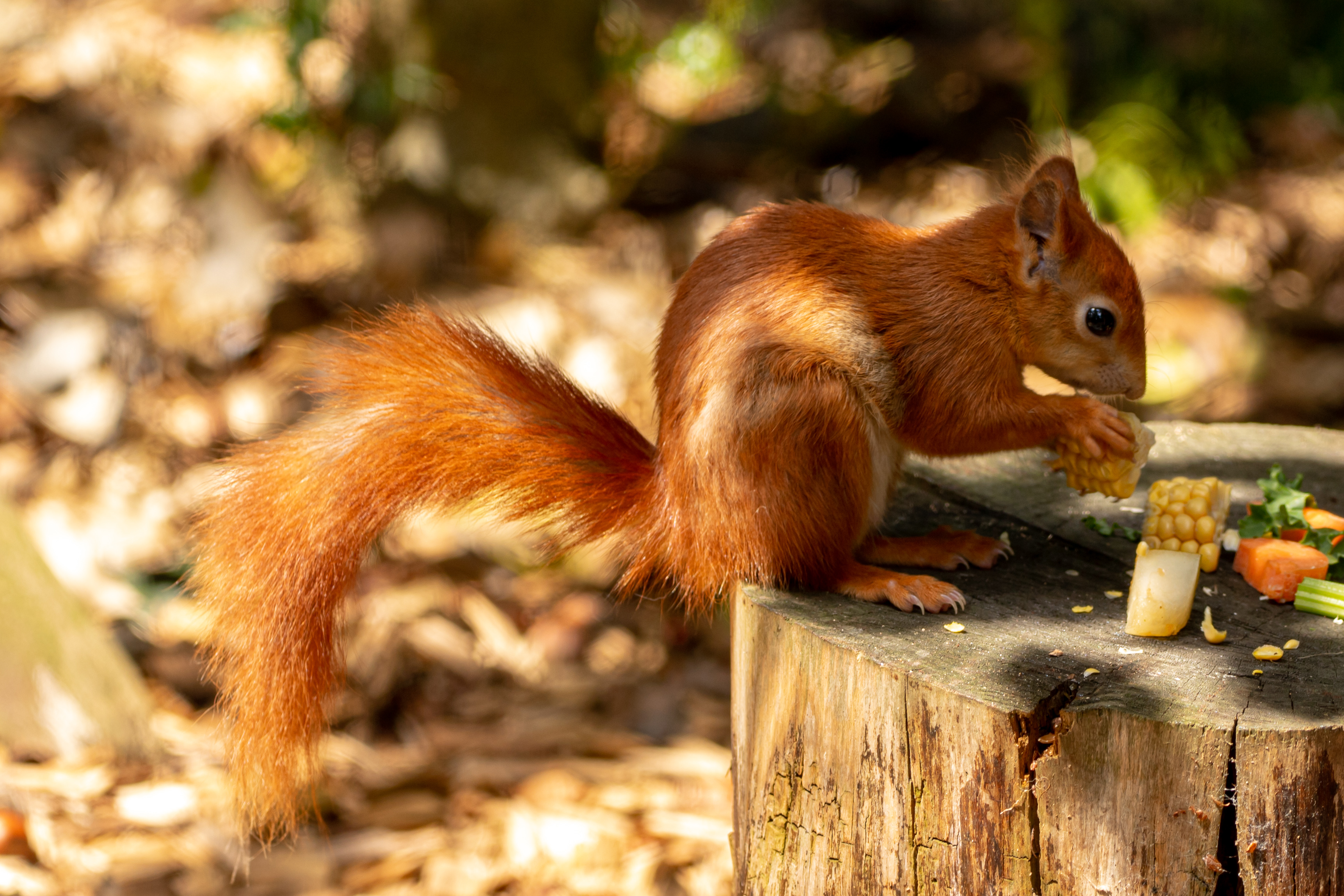 Red Squirrel by Clive Wells
