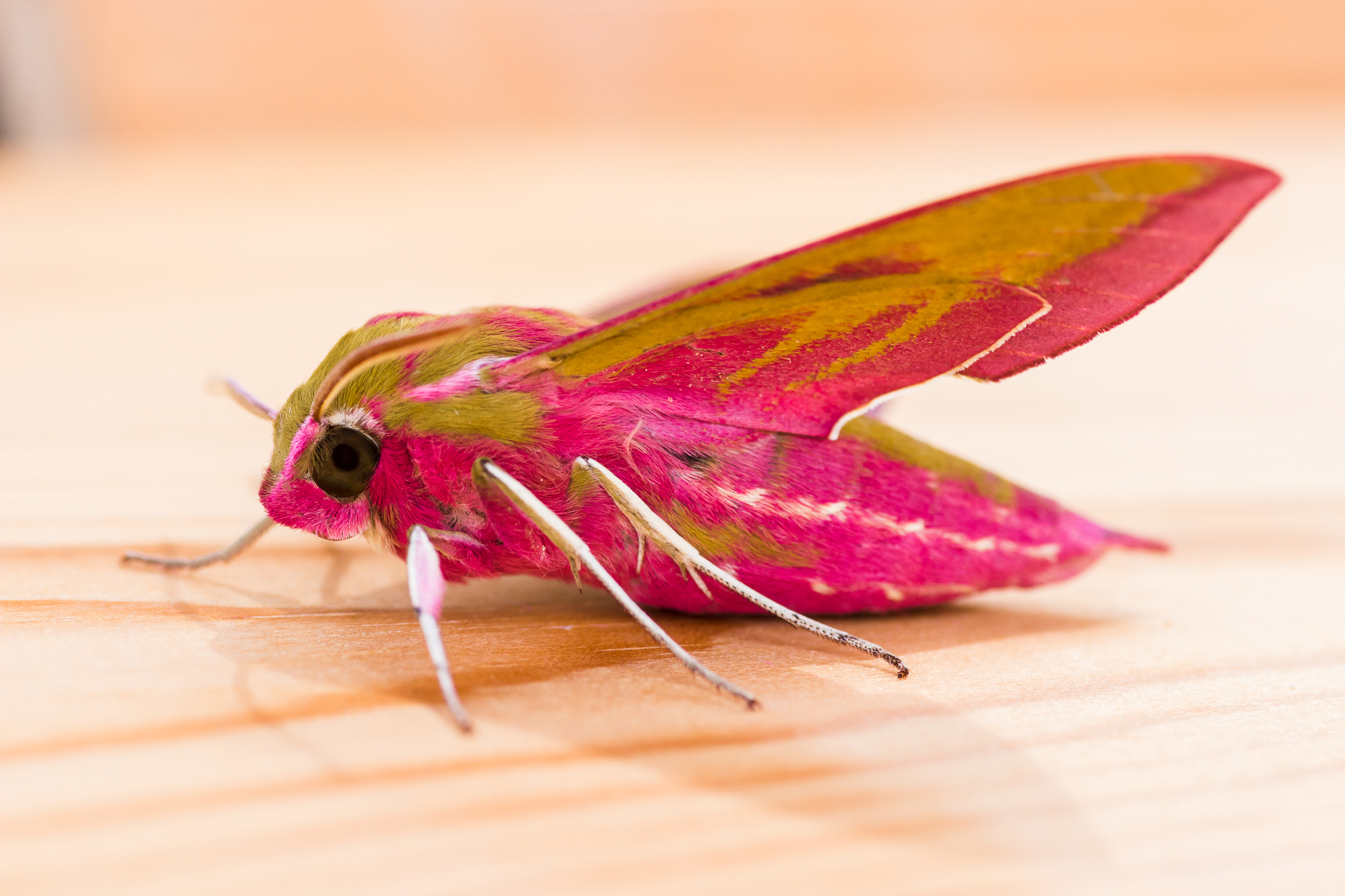 Elephant Hawk Moth by Clive Wells
