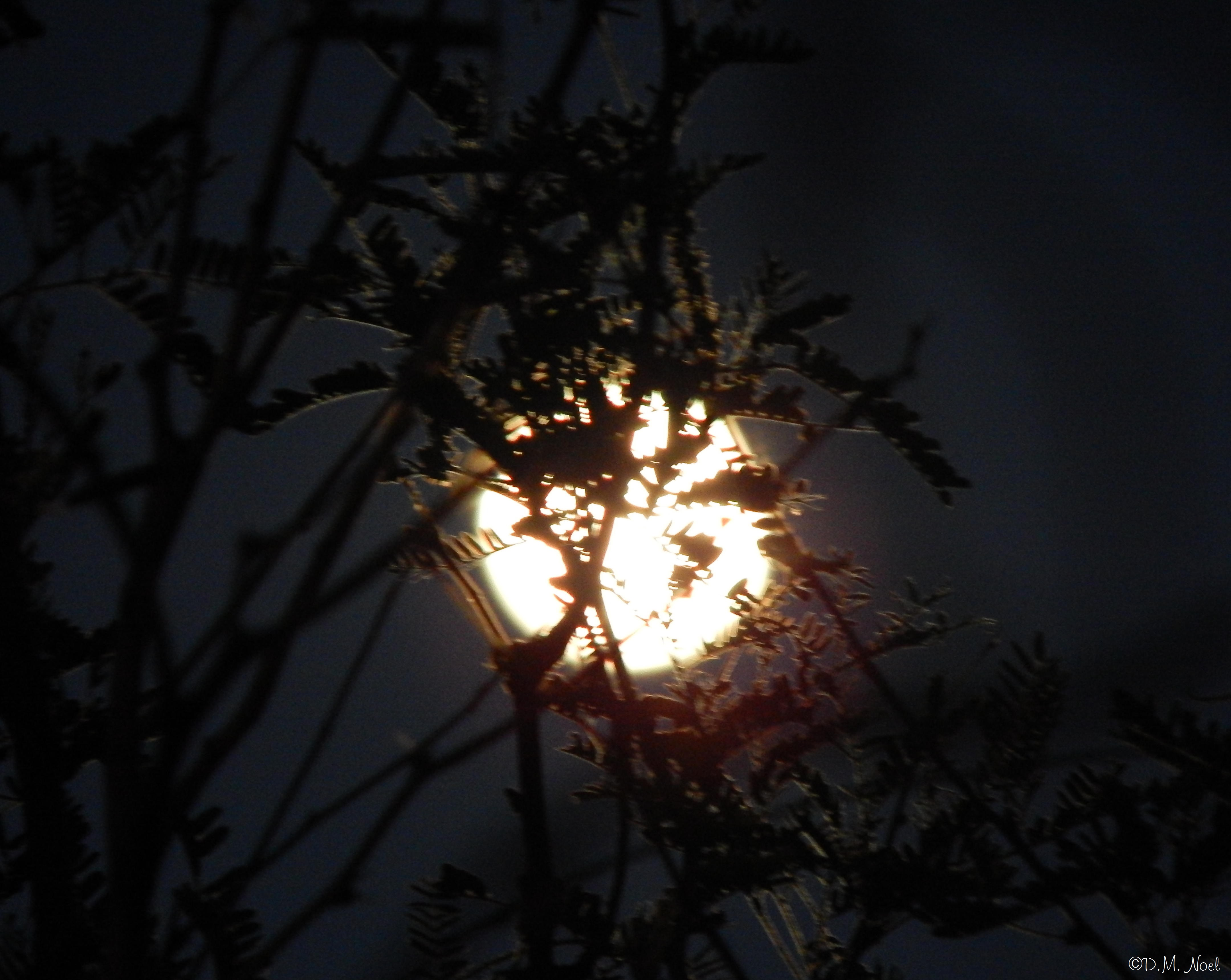 Moon behind trees © 8x10.JPG