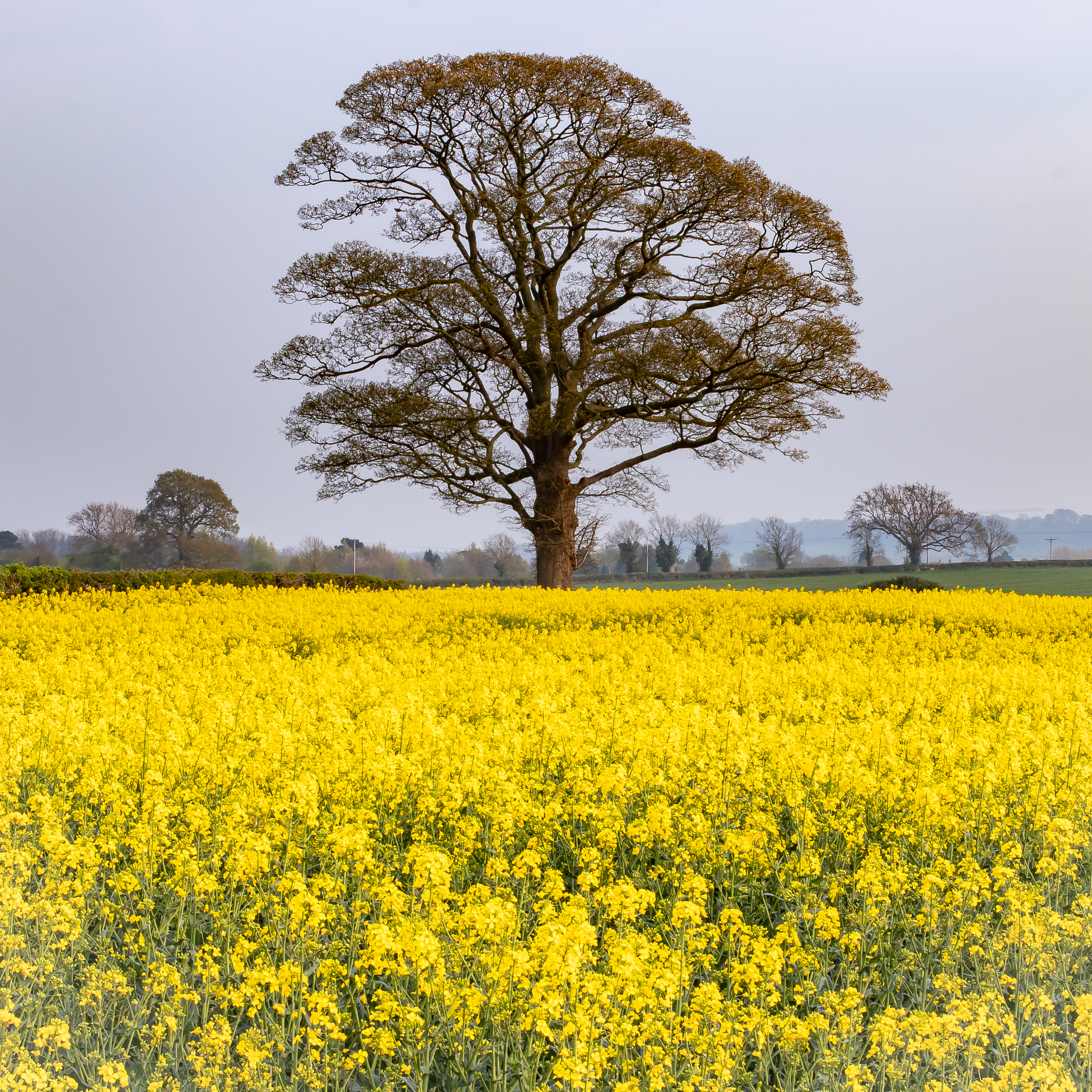 Field of Rape Oil Seed Derbyshire-1.jpg