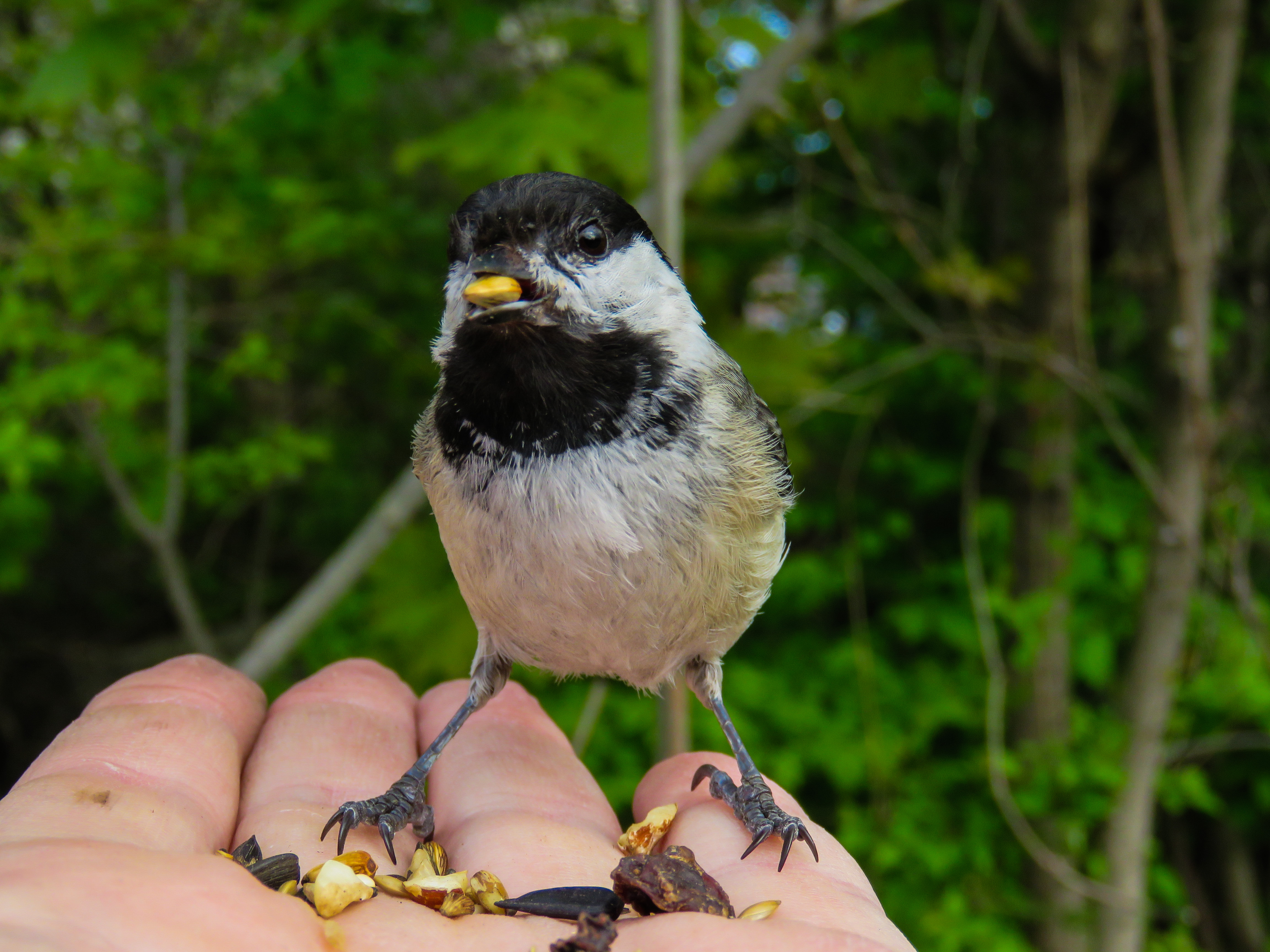 may-18-chickadee.jpg