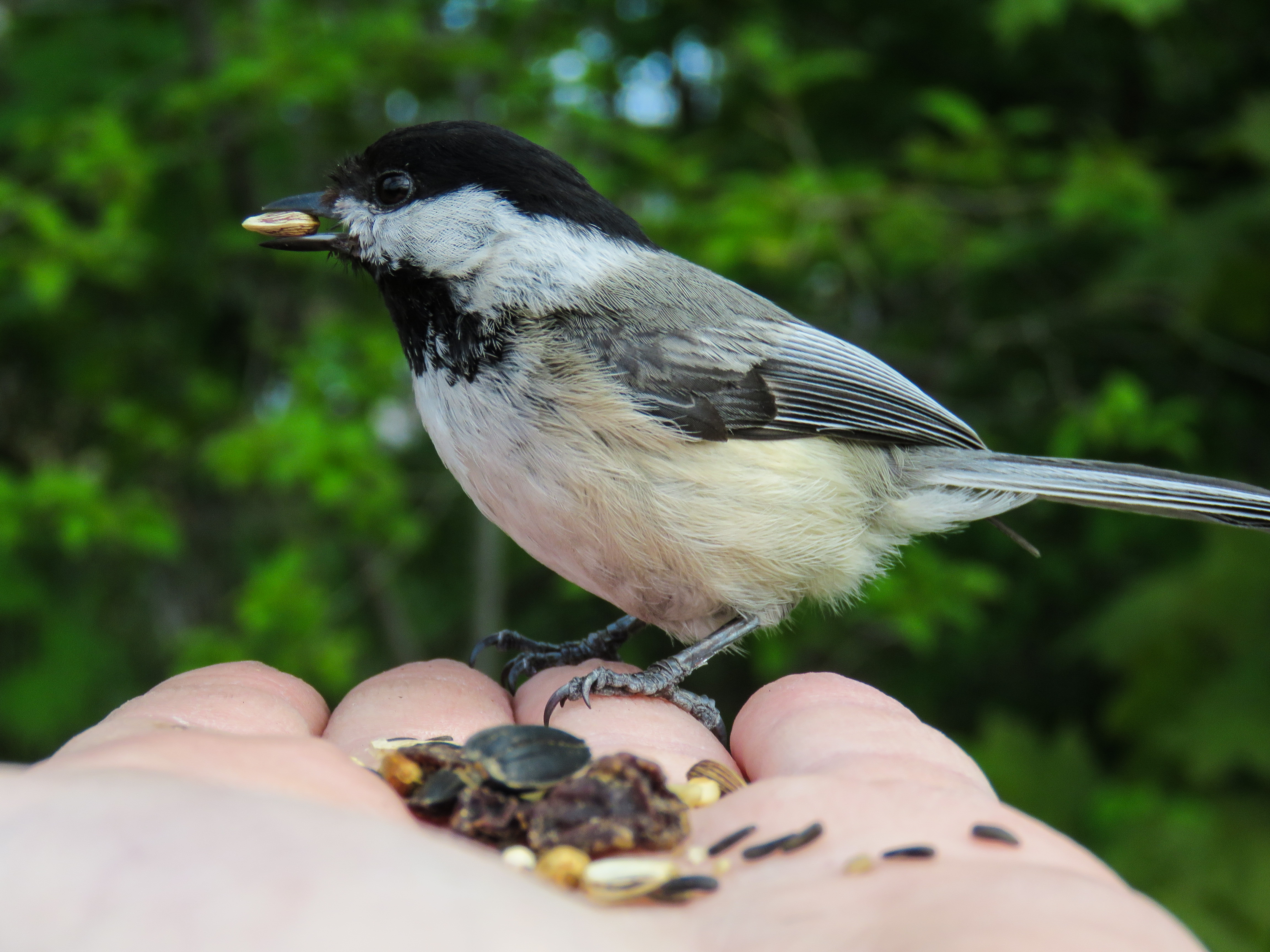 may-18-chickadee2.jpg