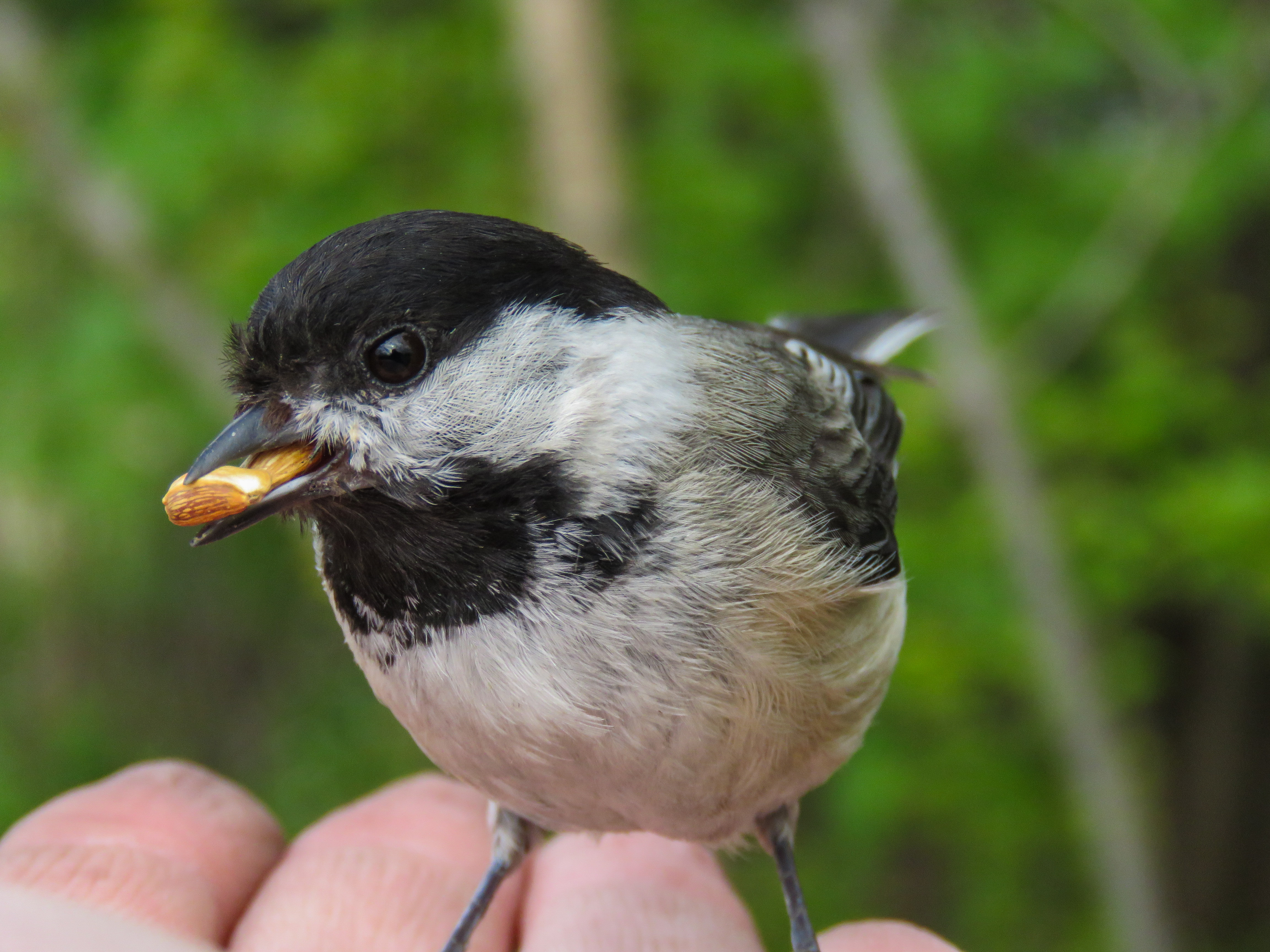 may-18-chickadee3.jpg
