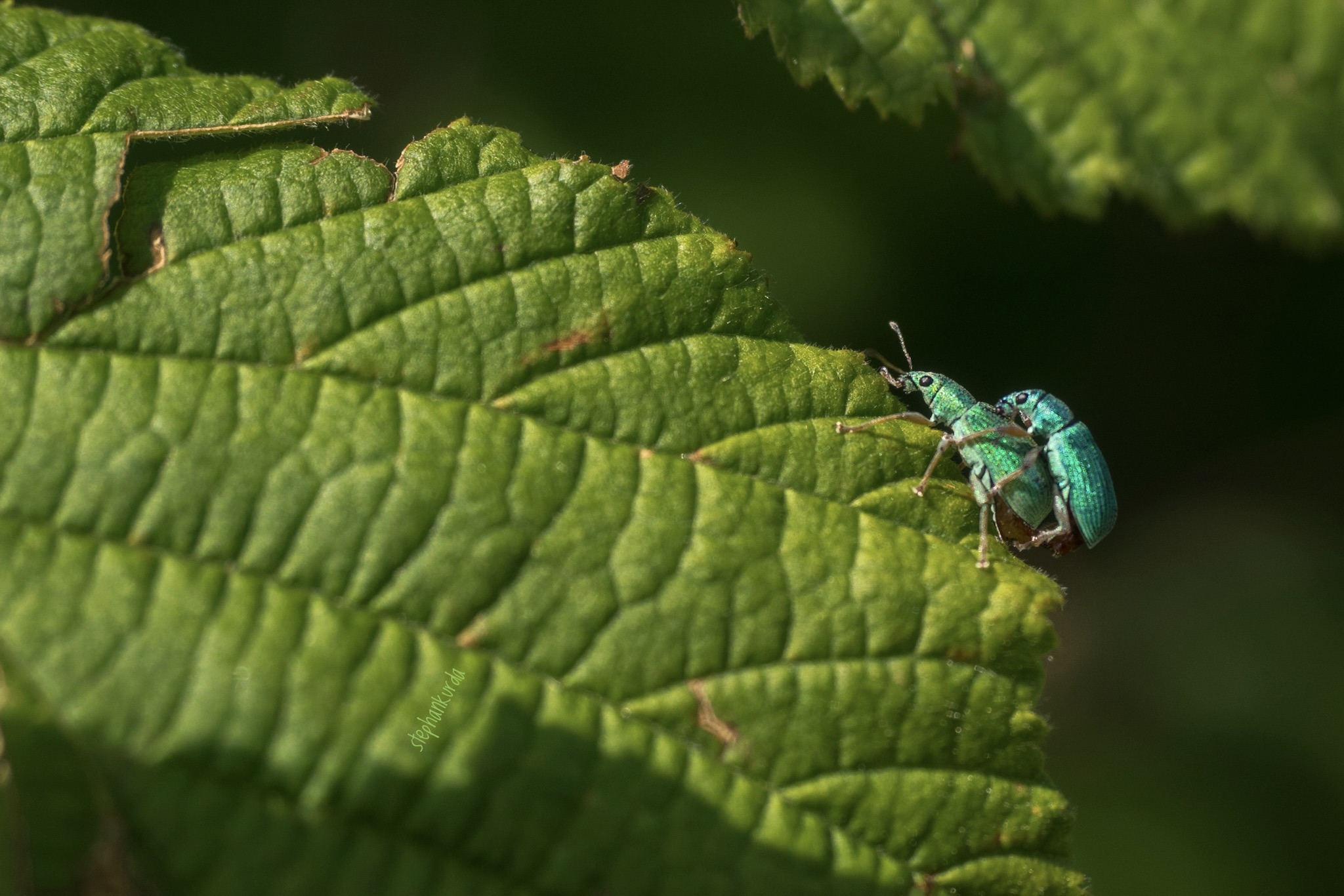 Weevils in action