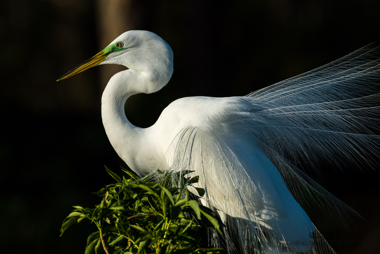 Great Egret Breeding adult_1234.jpg