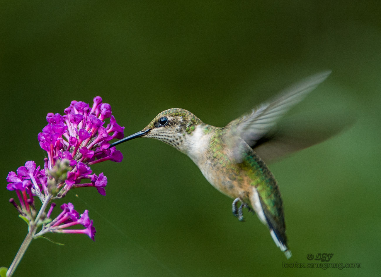 Ruby-throated hummingbird_DSC_0030.jpg