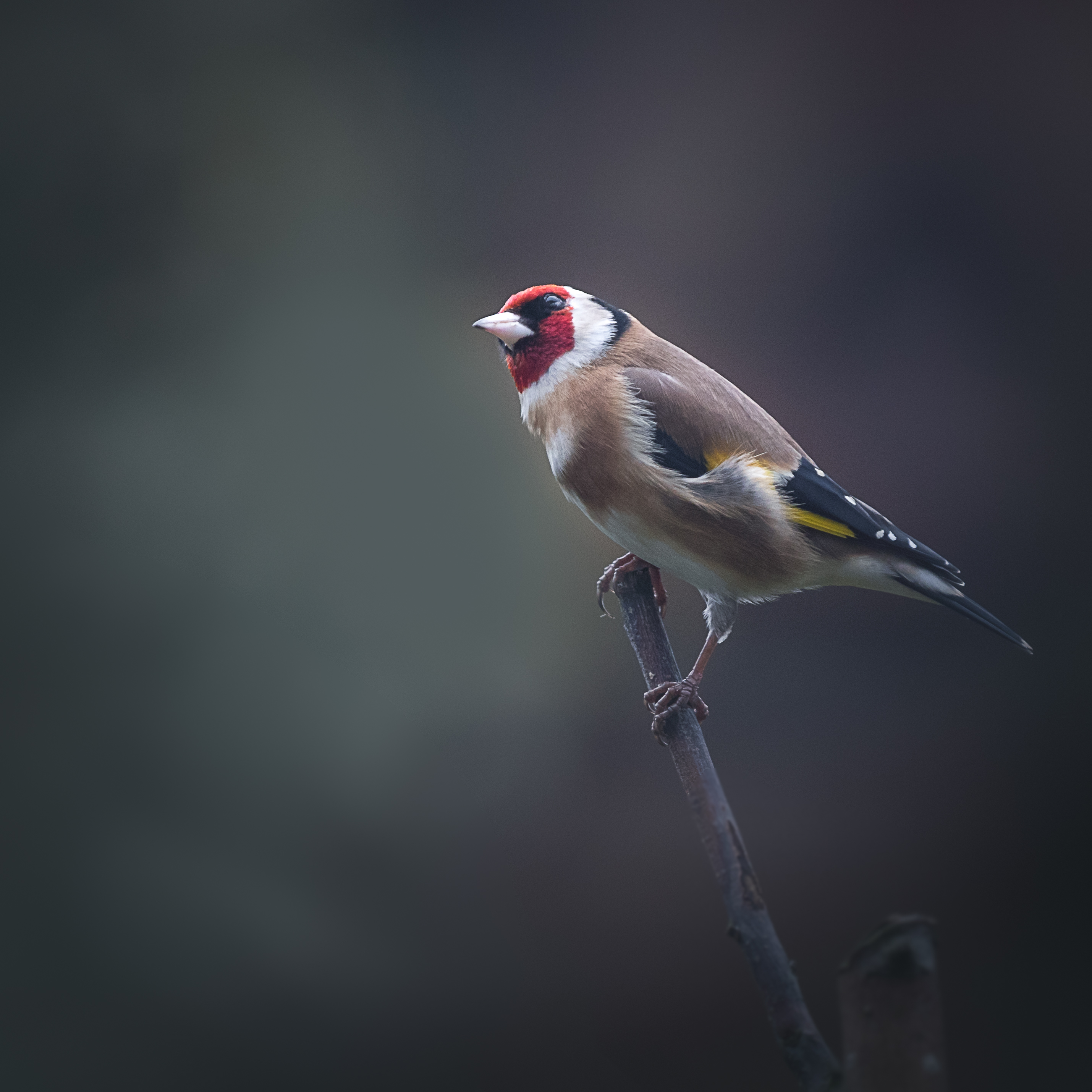 My mate Goldfinch