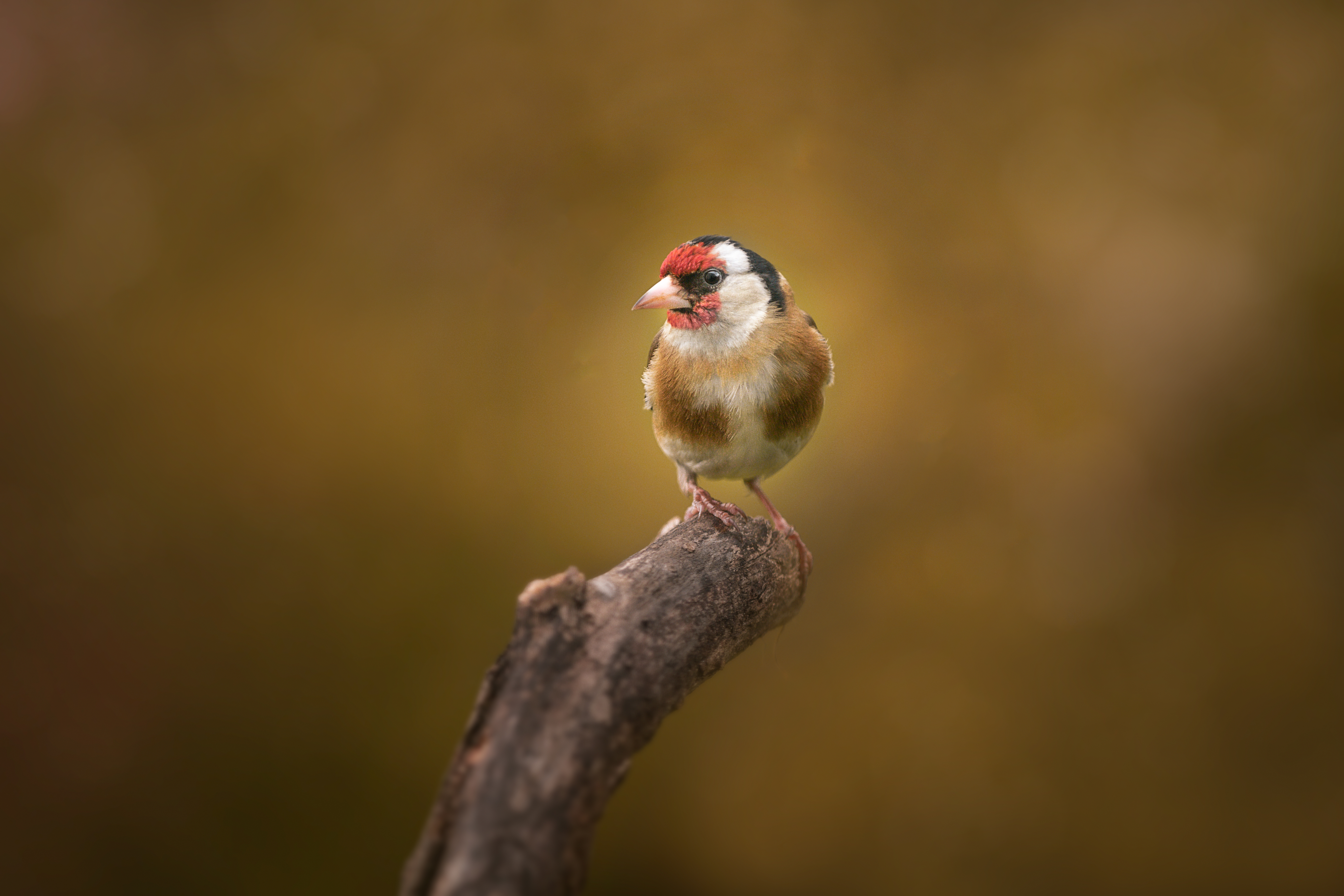 My neighbour Goldfinch