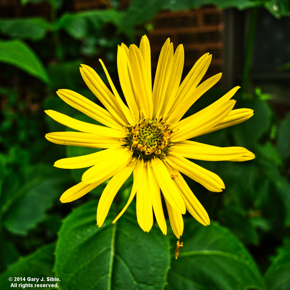 Yellow Daisy in a Garden in Chicago (2014-07-05 10-38-47b)