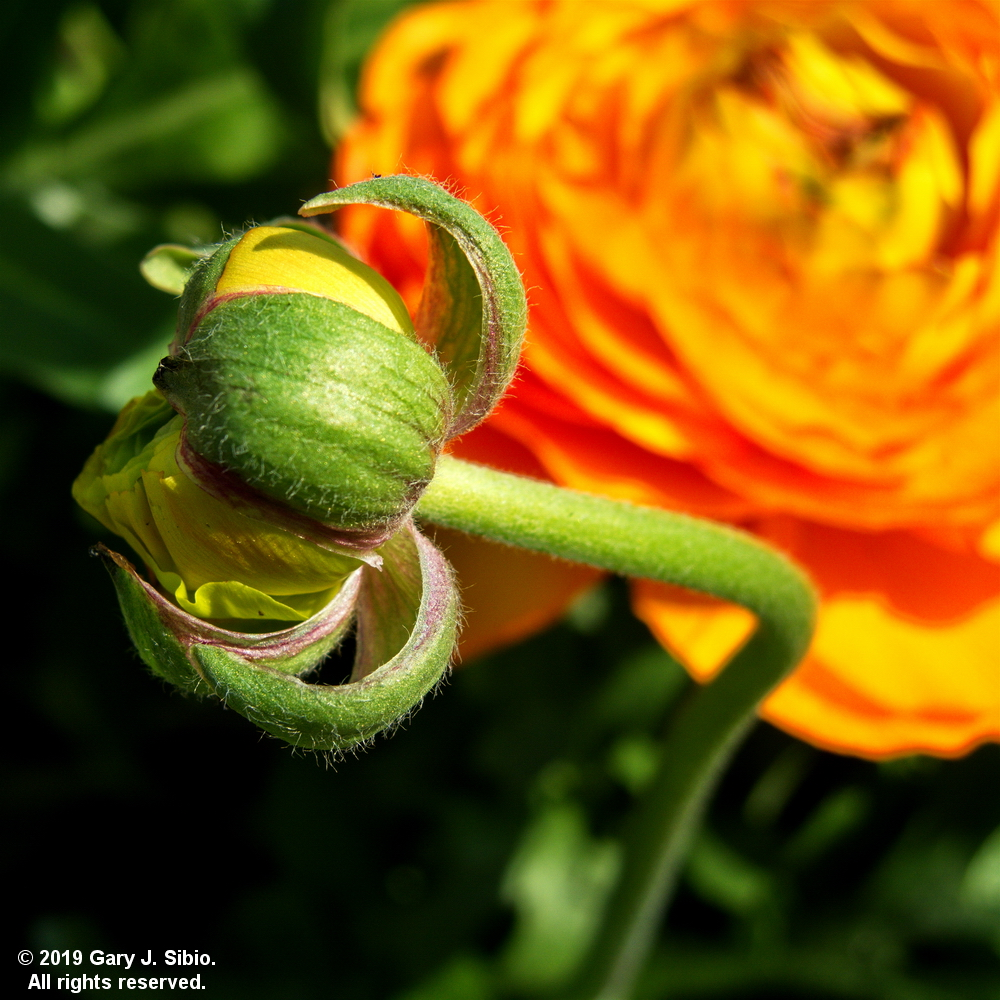 Ranunculus Bud in a Planter in Chicago, Illinois (2019-04-16 13-58-43a)