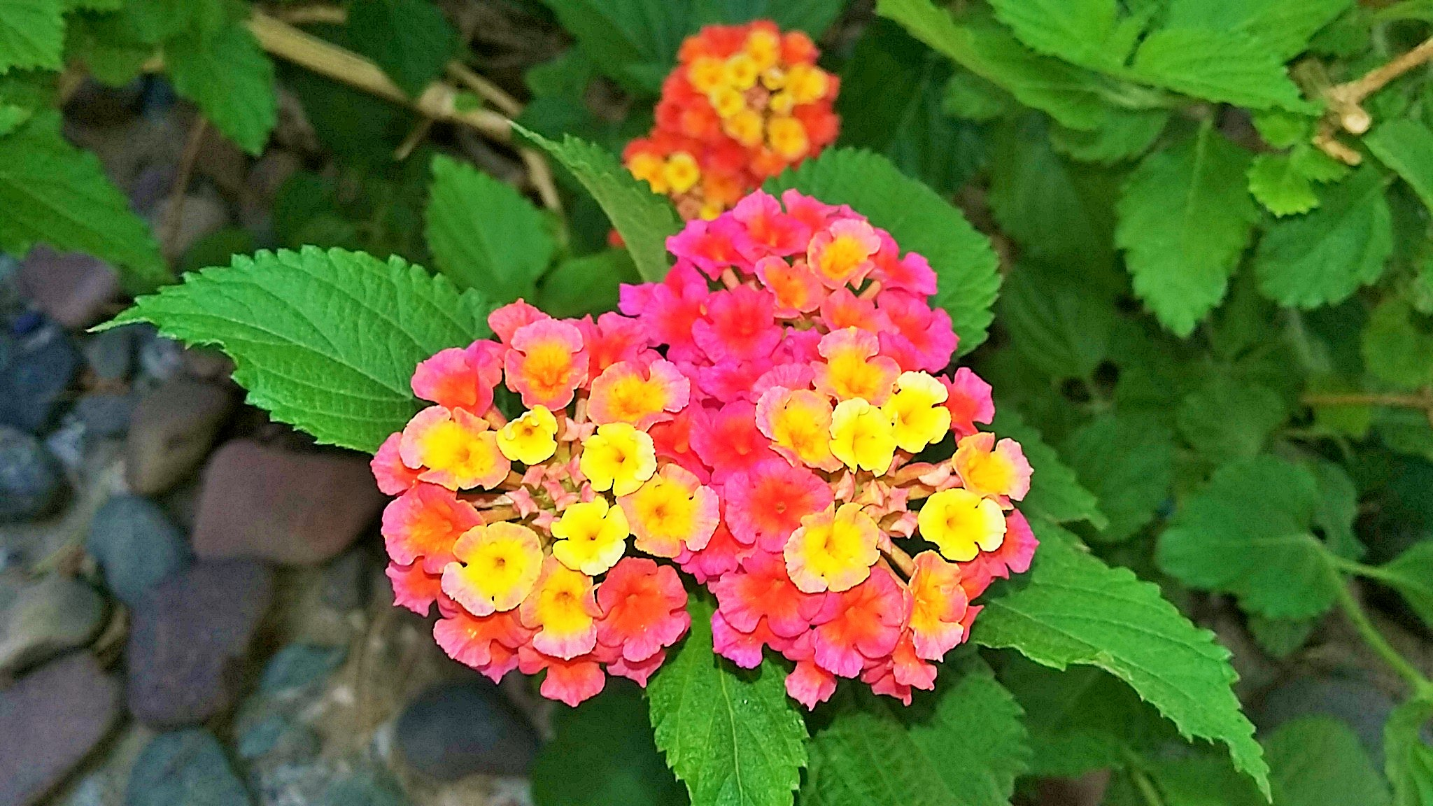 Lantana Flowers of Arizona