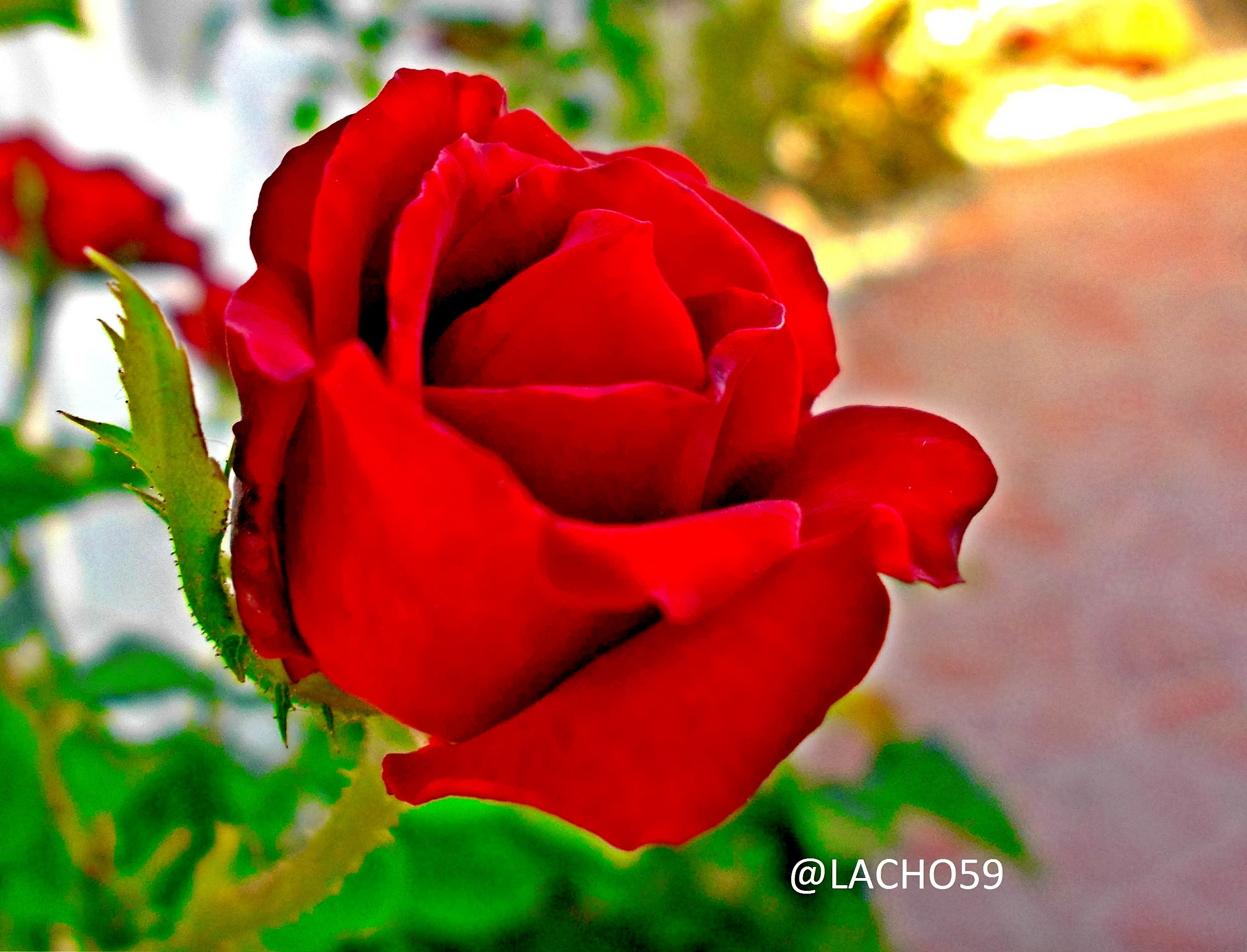 gorgeous red rose