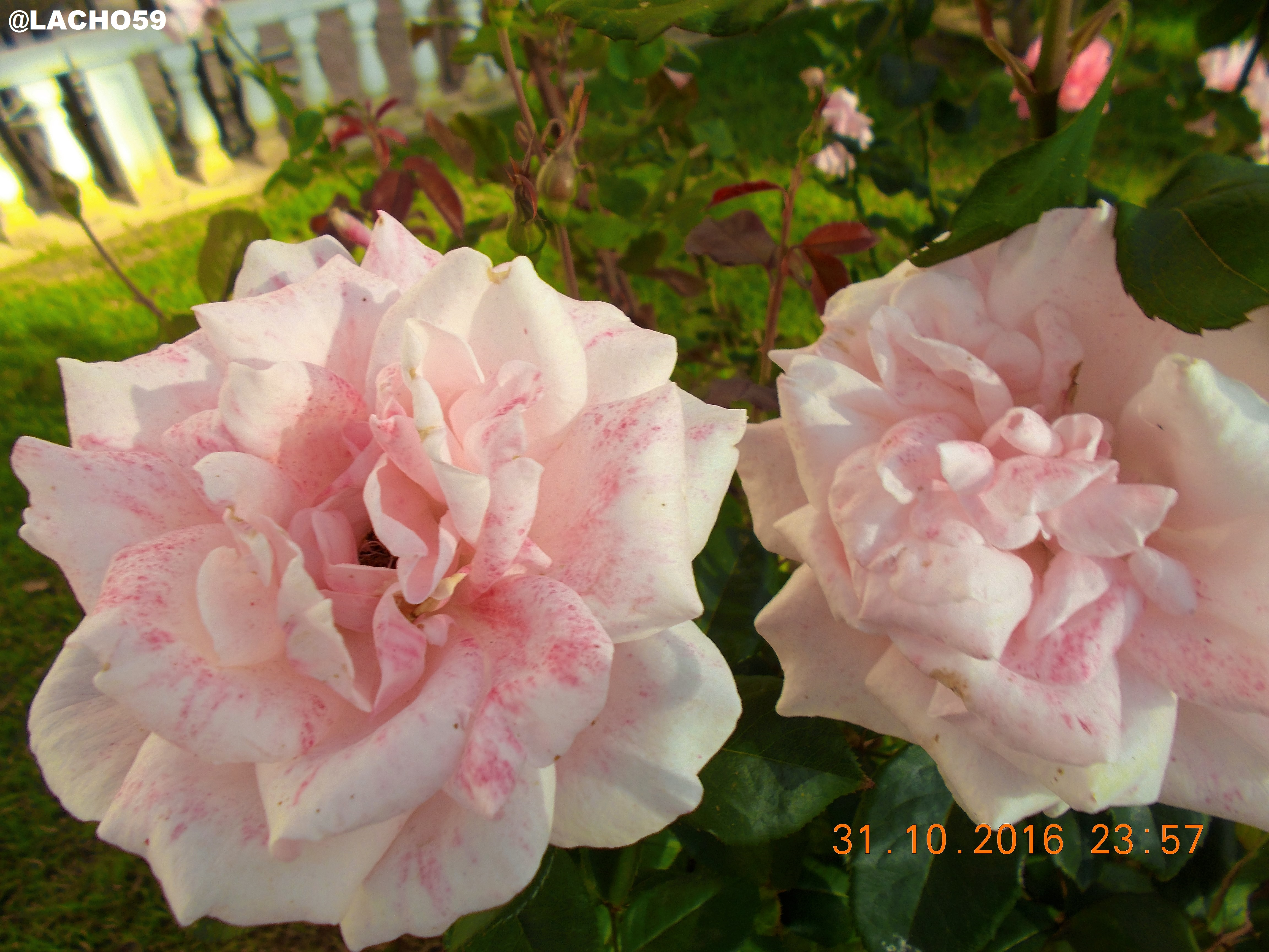 Two beauty of rose bush