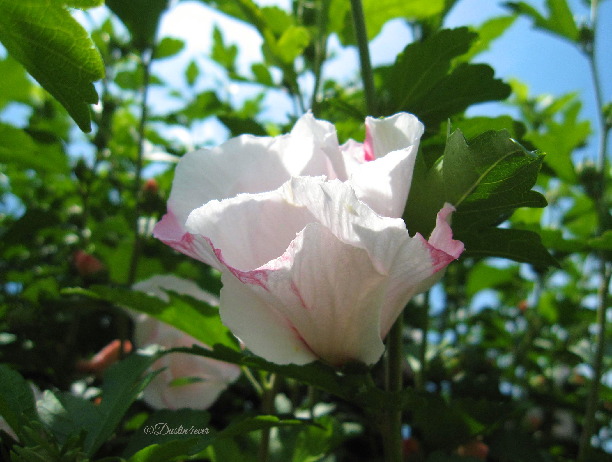 Rose of Sharon Lace