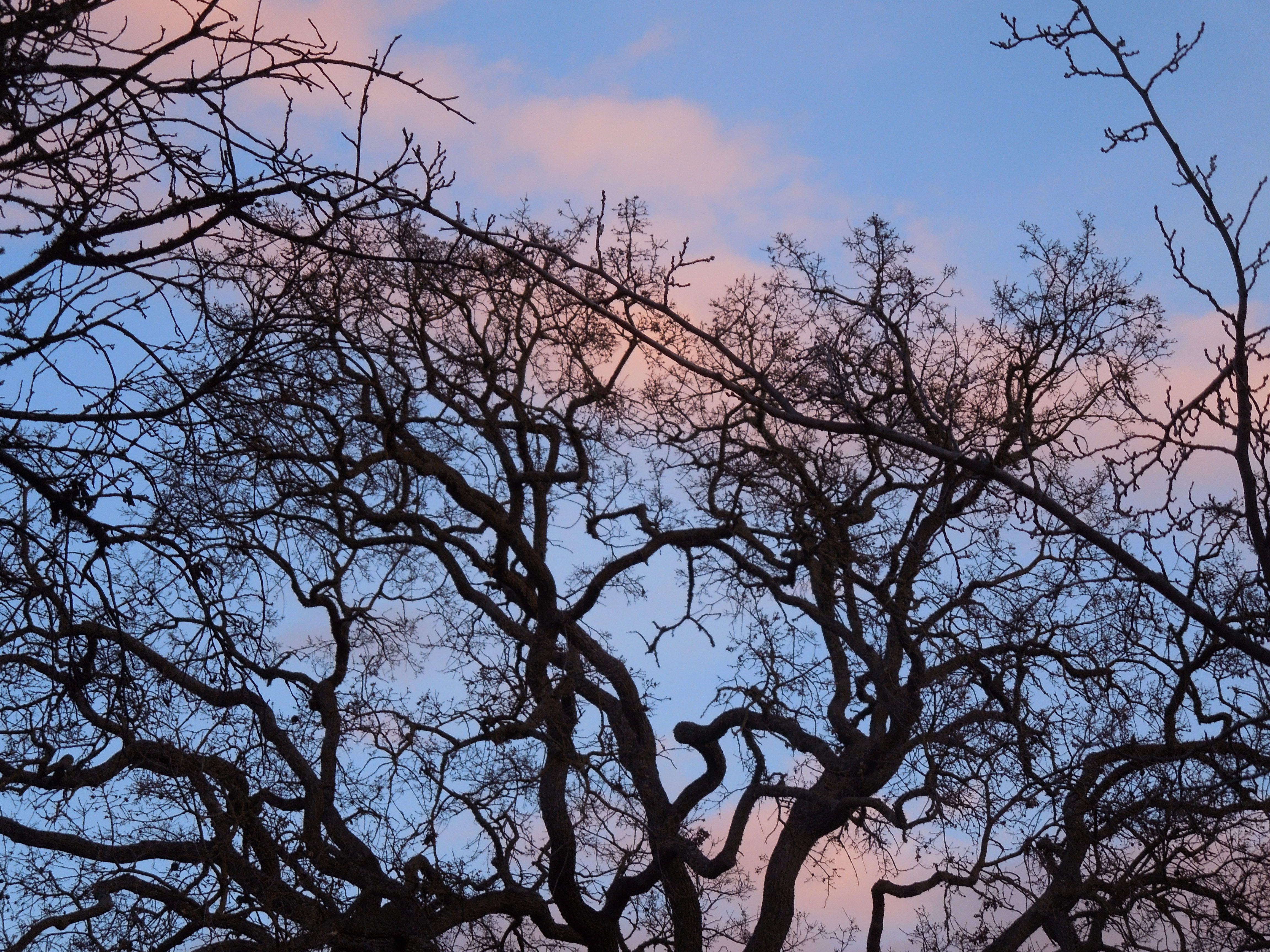 Treetop Silhouettes in Pink and Blue Sky in January