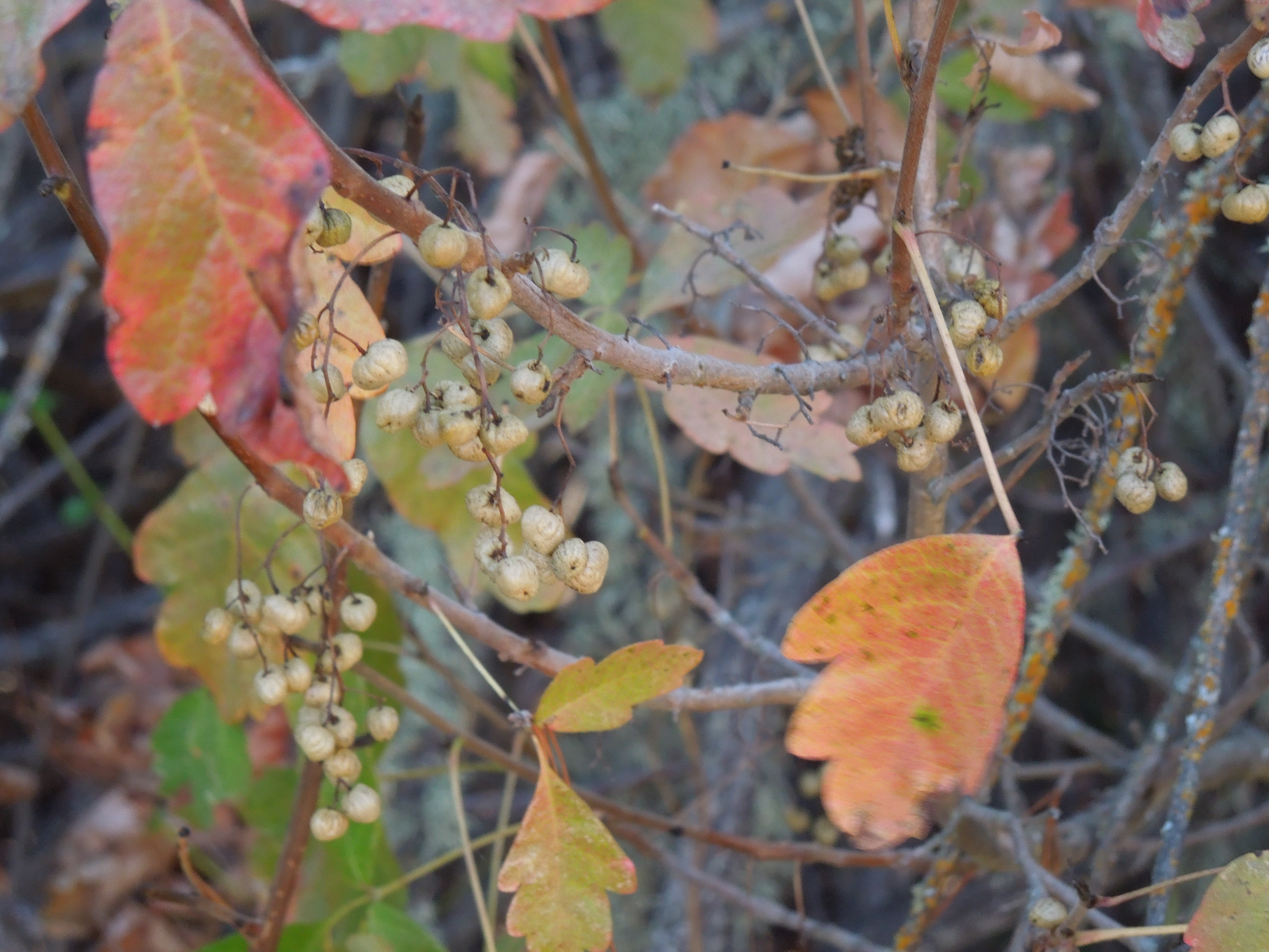 Poison Oak in October with Berries