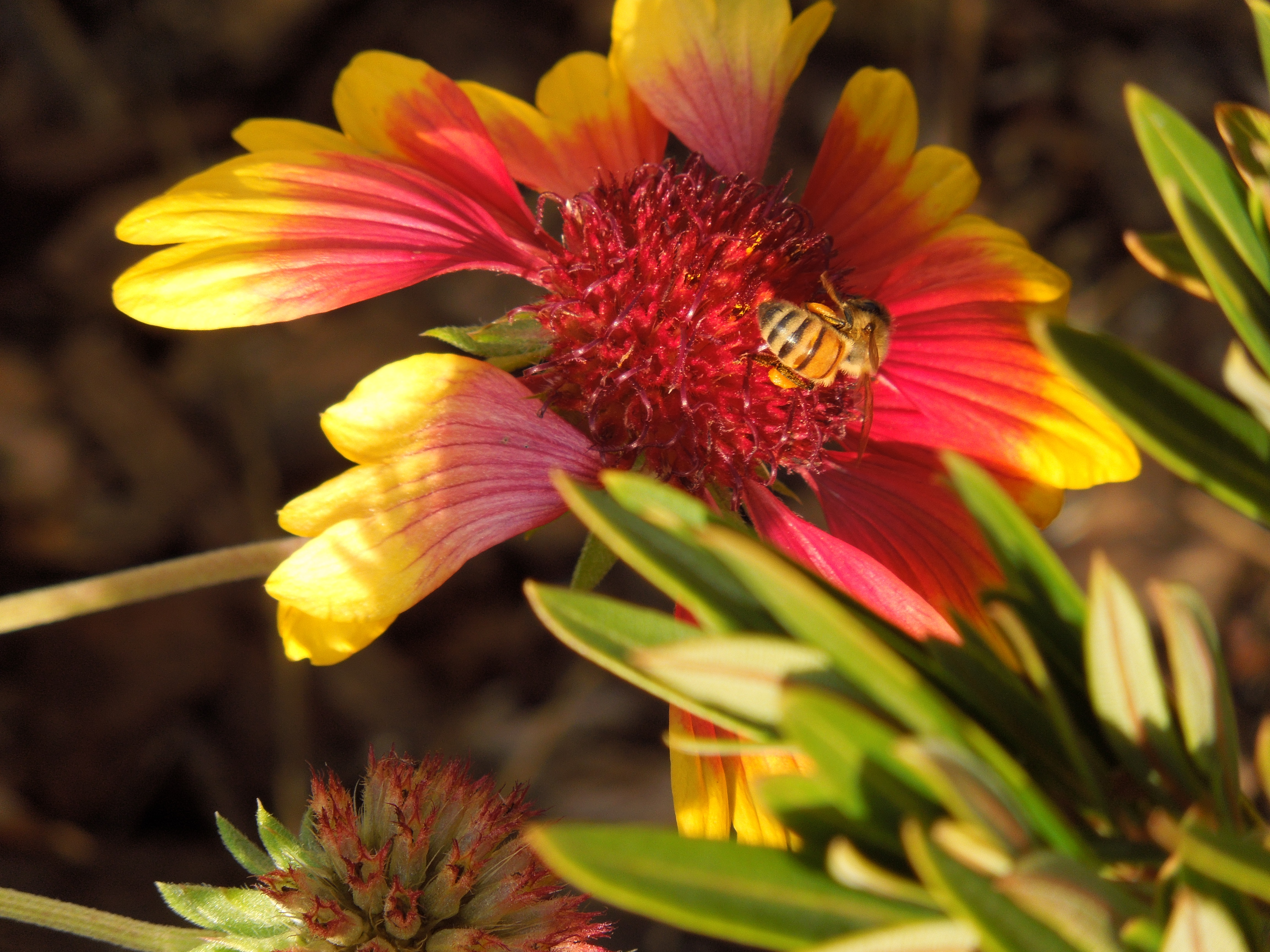 Bee Exploring Gazania Flower