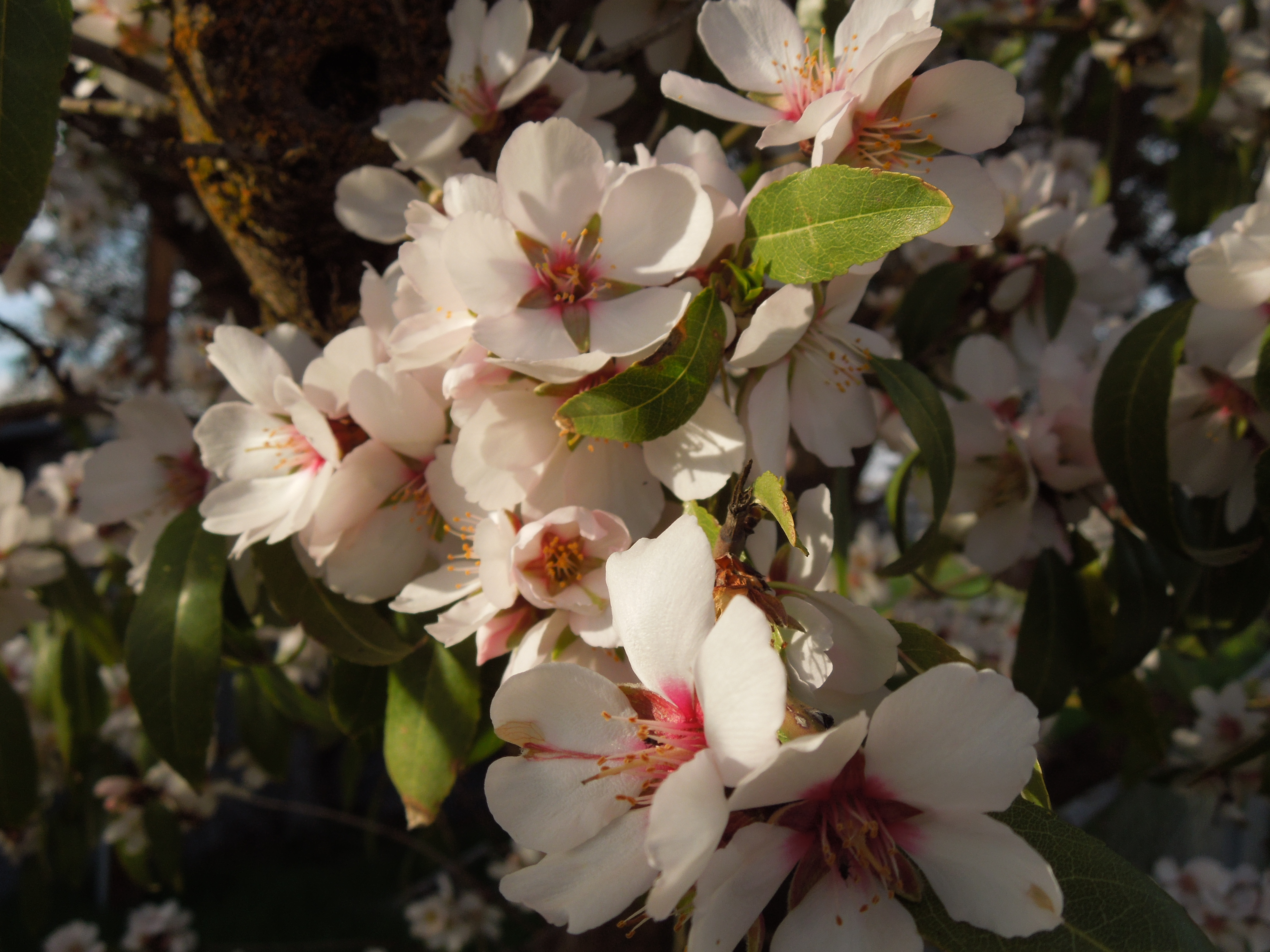 Almond Blossoms Close-up