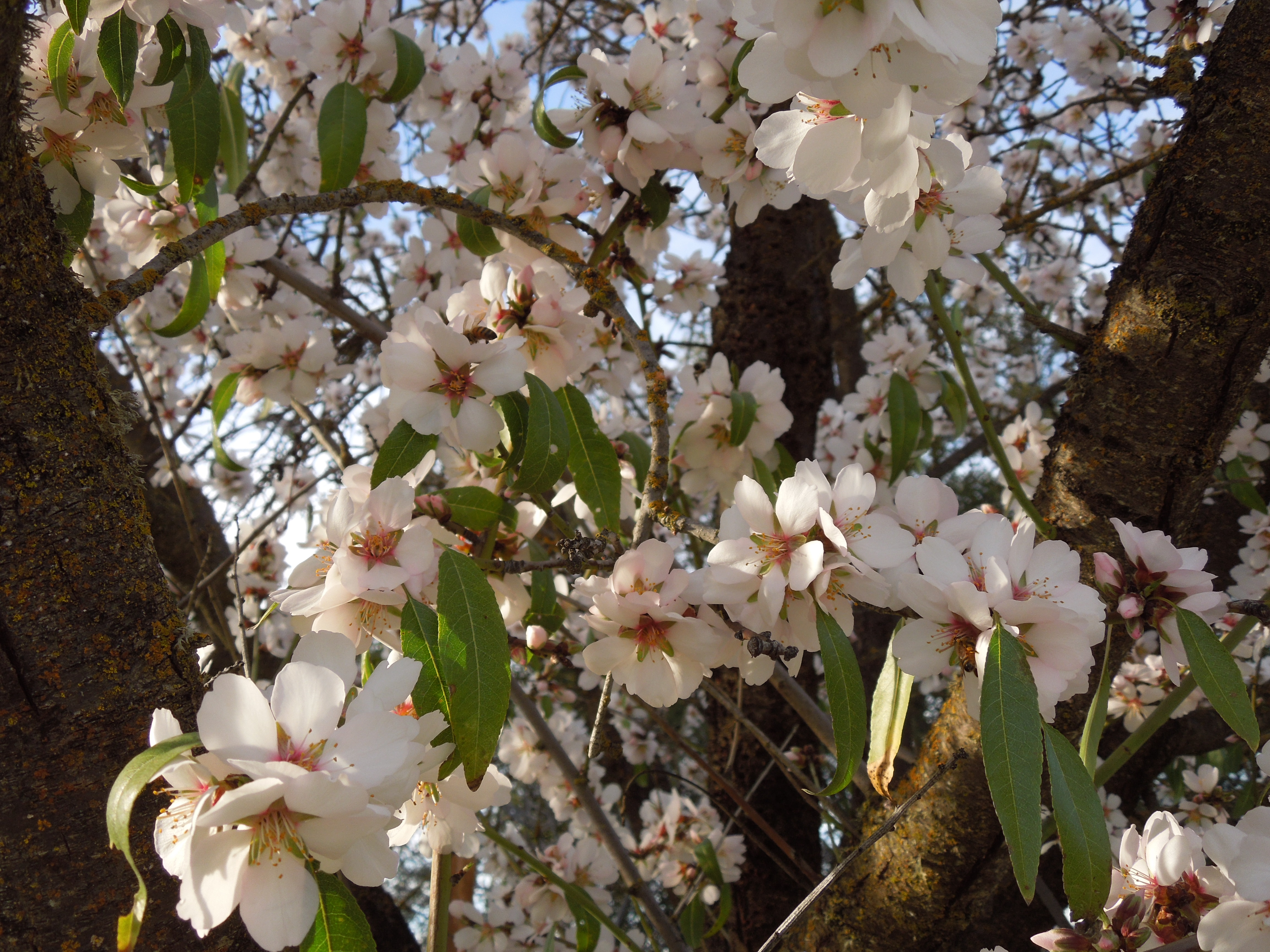 Almond Blossoms on the Tree in February
