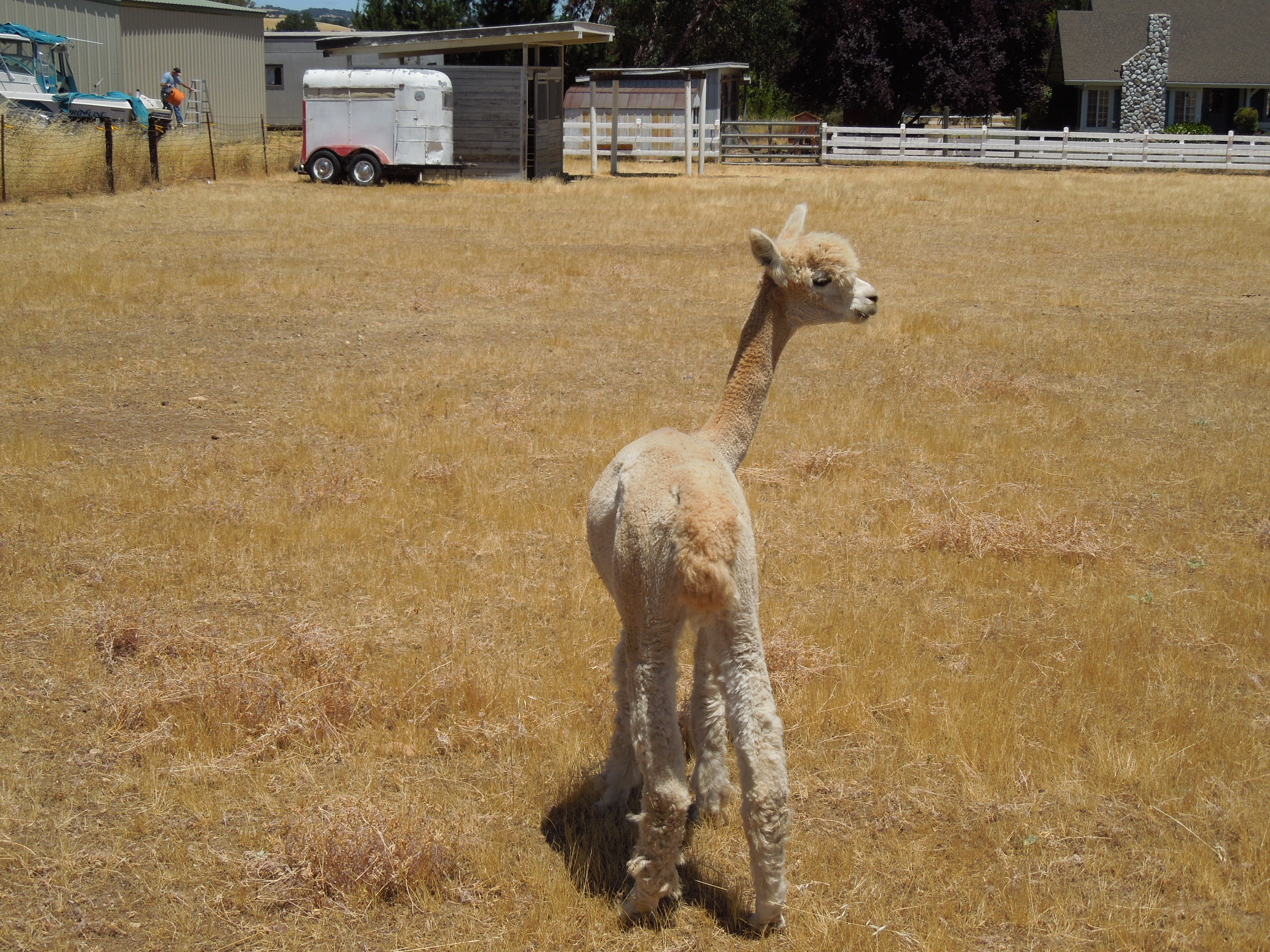 Alpaca on Family Farm after Shearing