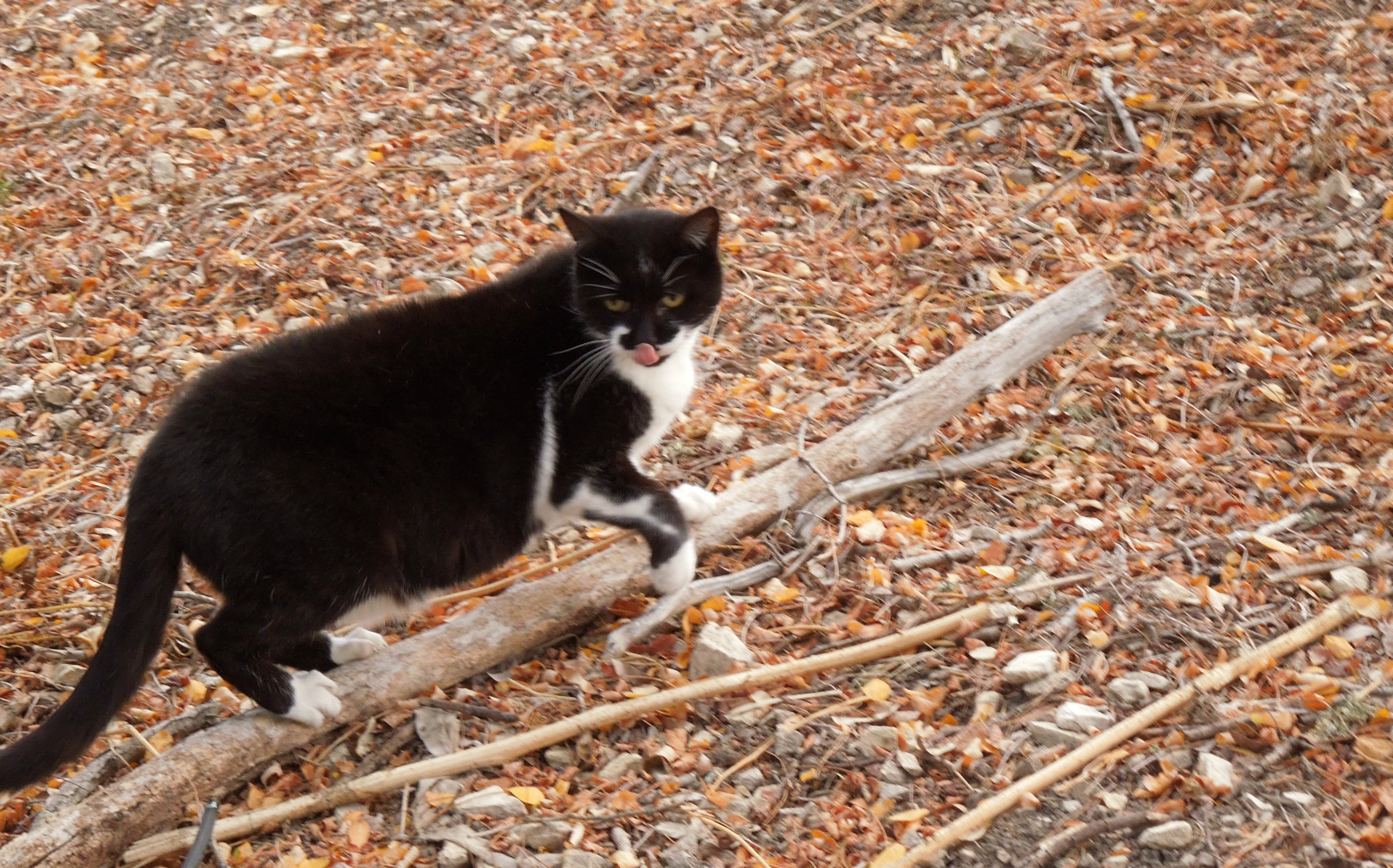 Tuxedo Cat Sharpening Claws on Dead Tree Branch