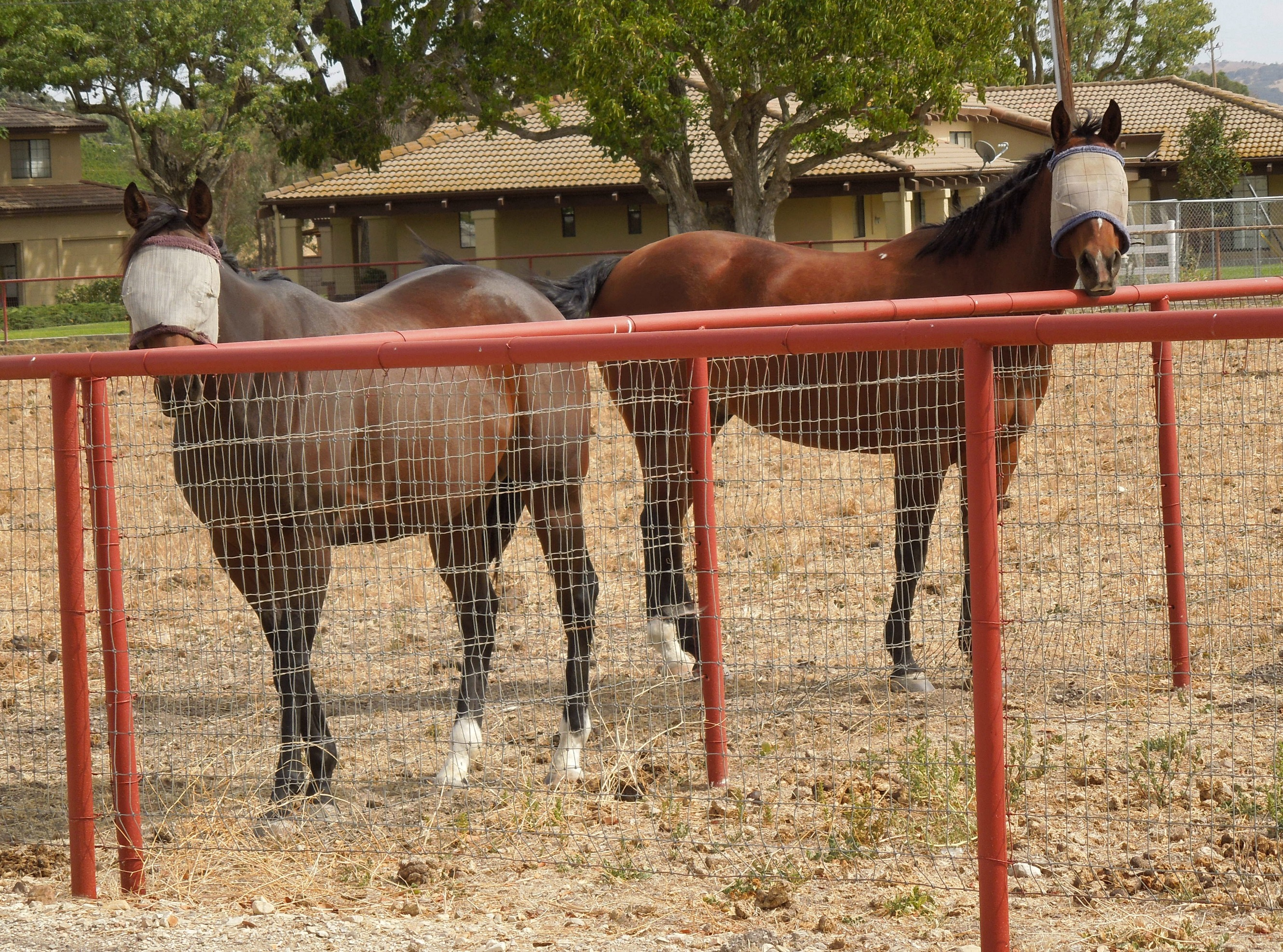 Horses Wearing Blindfolds on a Small Farm in Paso Robles