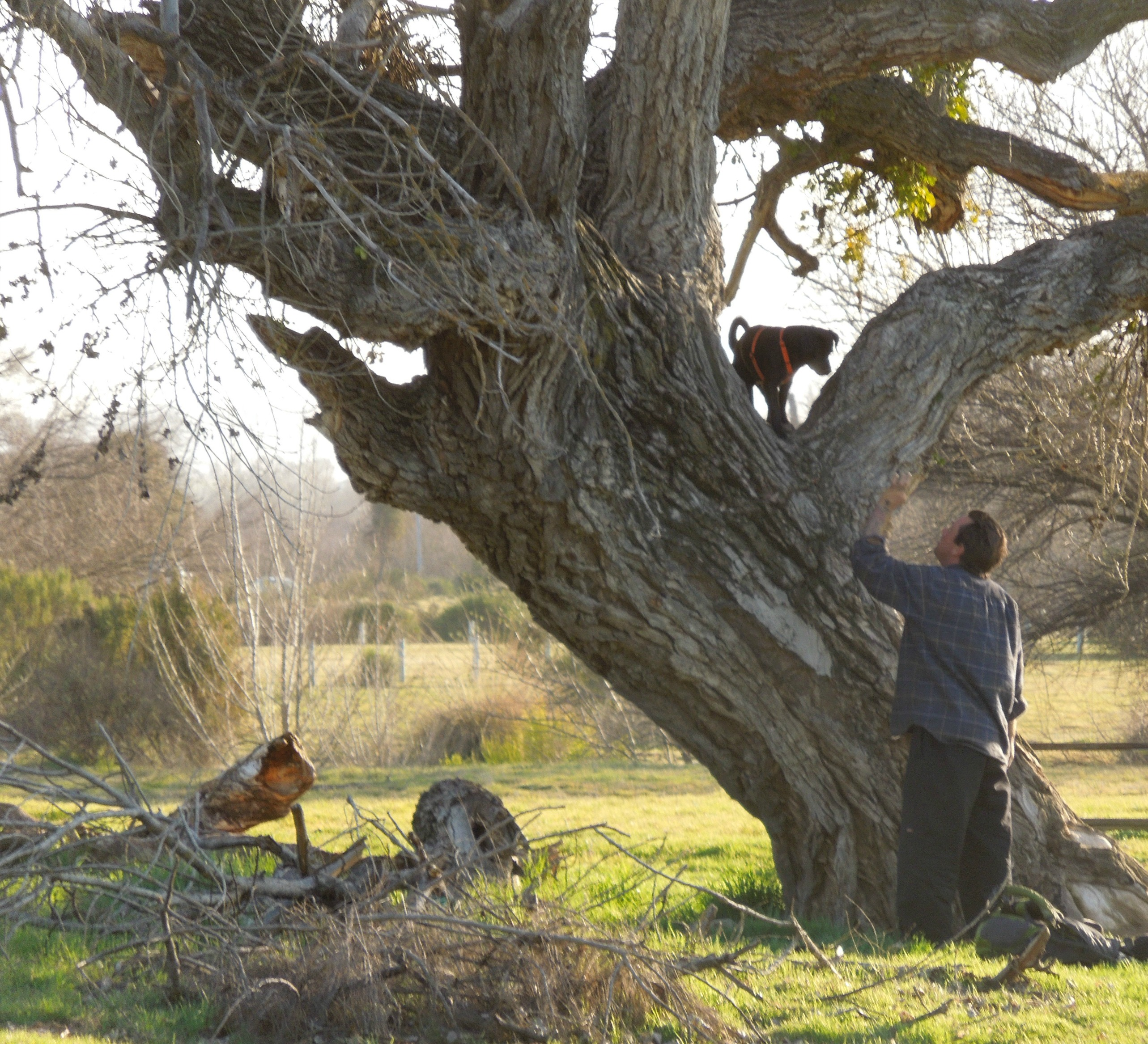 Tree-Climbing Dog in Cottonwood Tree at Larry Moore Park in Paso Robles