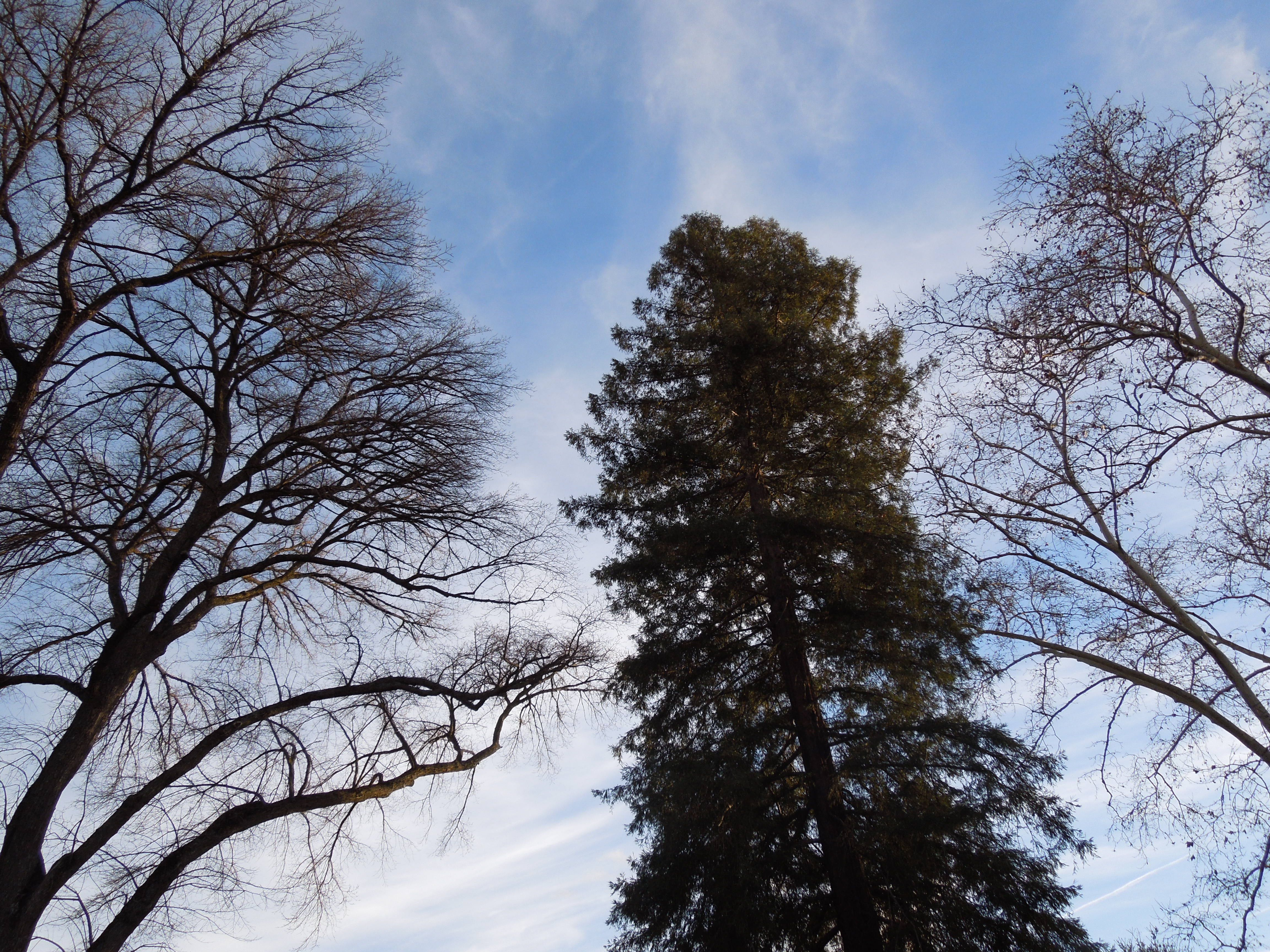 Treetops in Paso Robles City Park in January