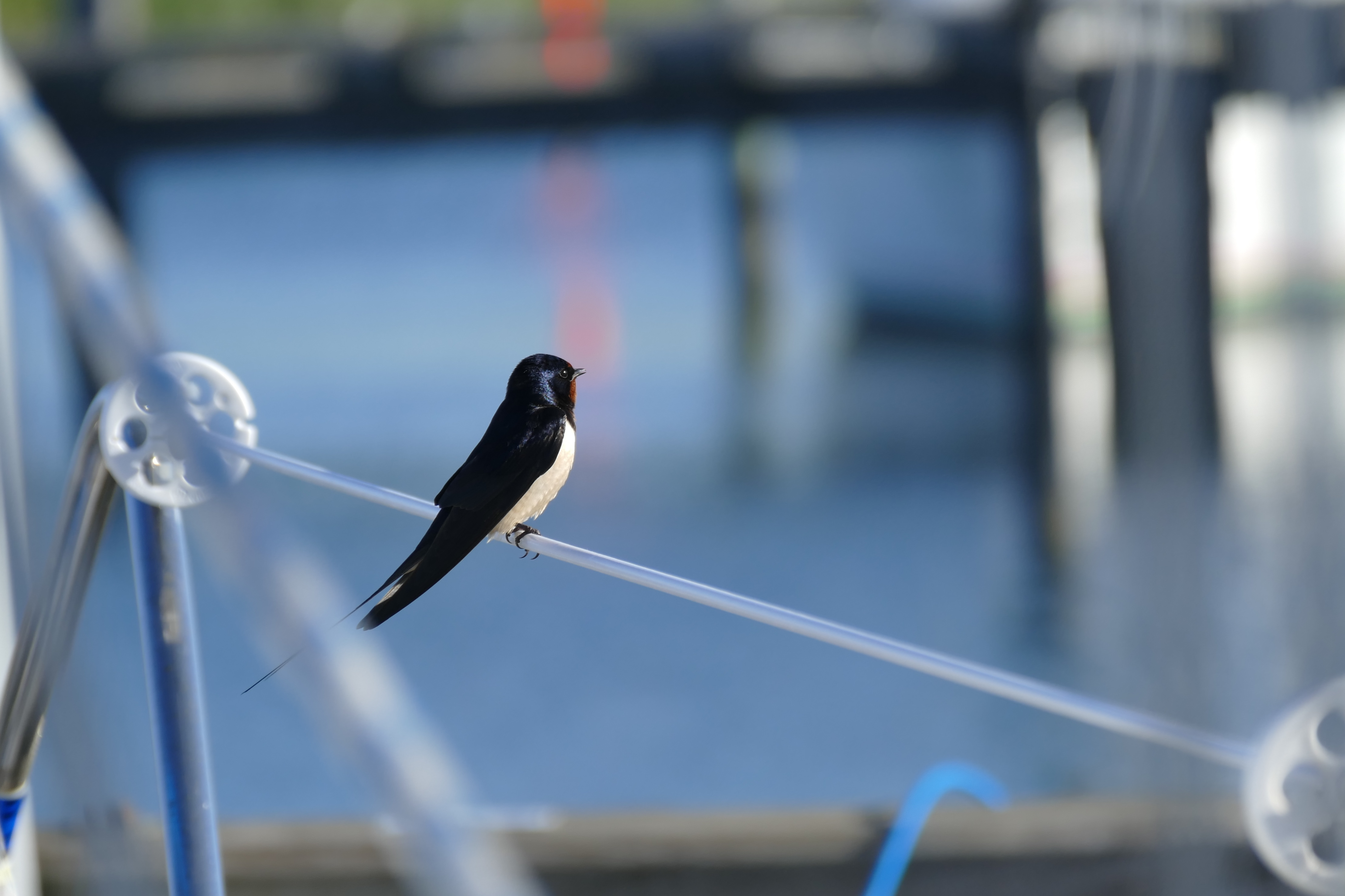 Barn swallow on railing