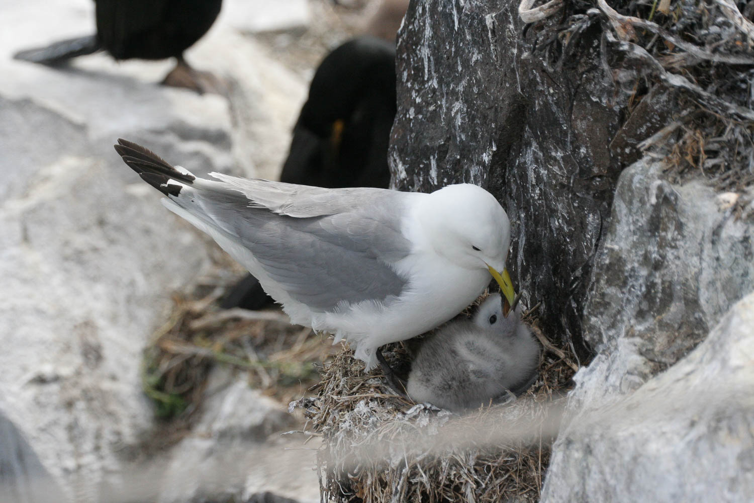 Kittiwake and chick
