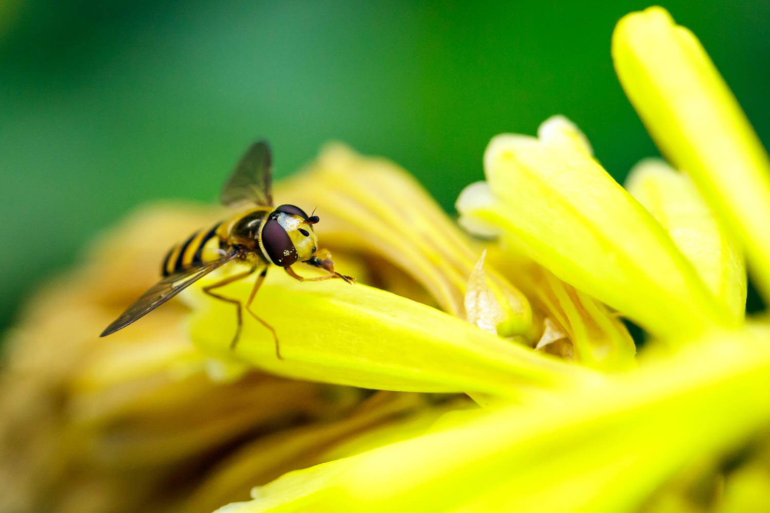 Hoverfly - 1