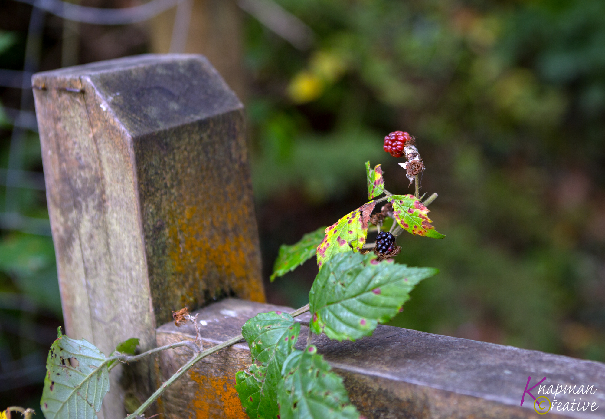 November Blackberries