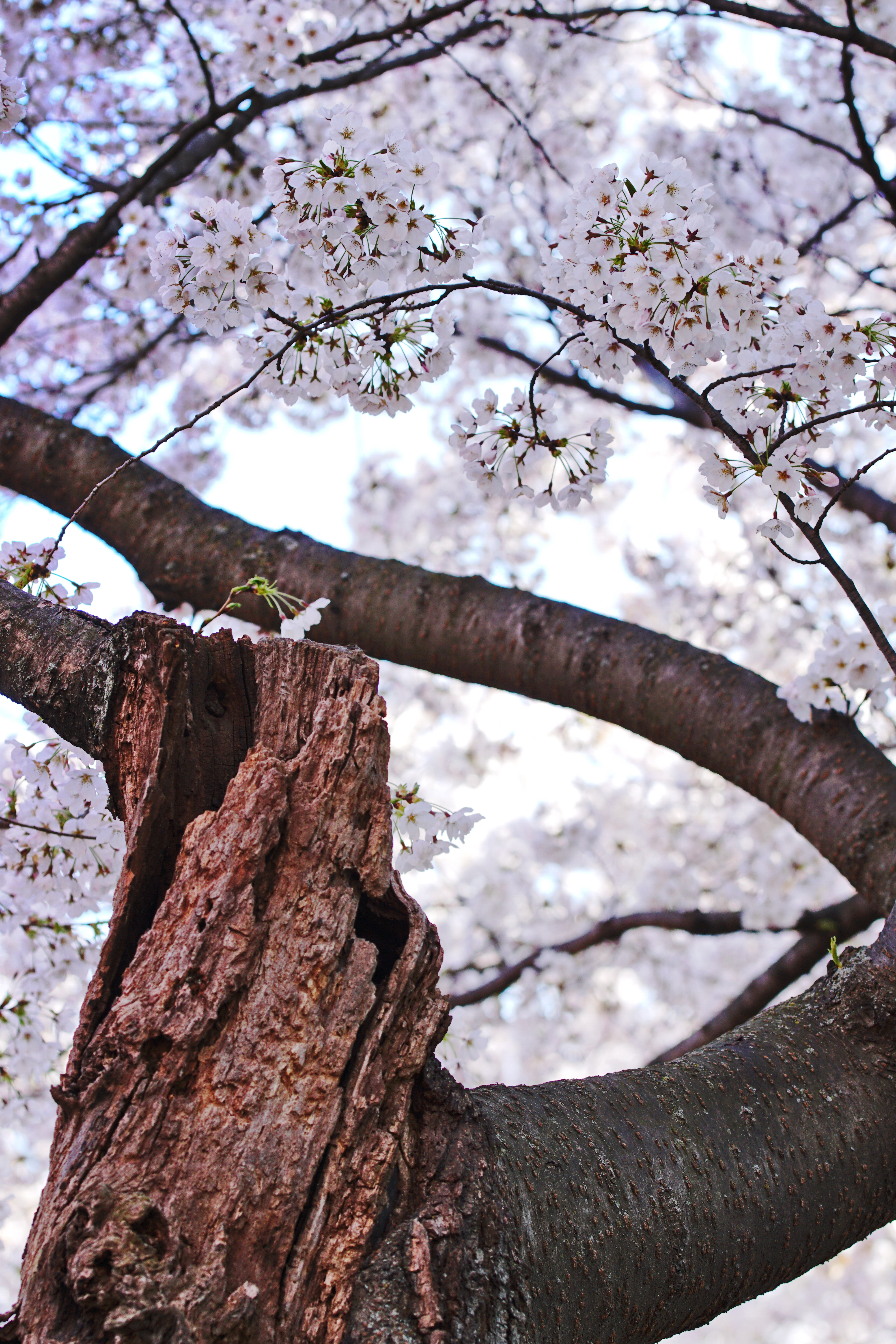 Blossoms and mangled trunk