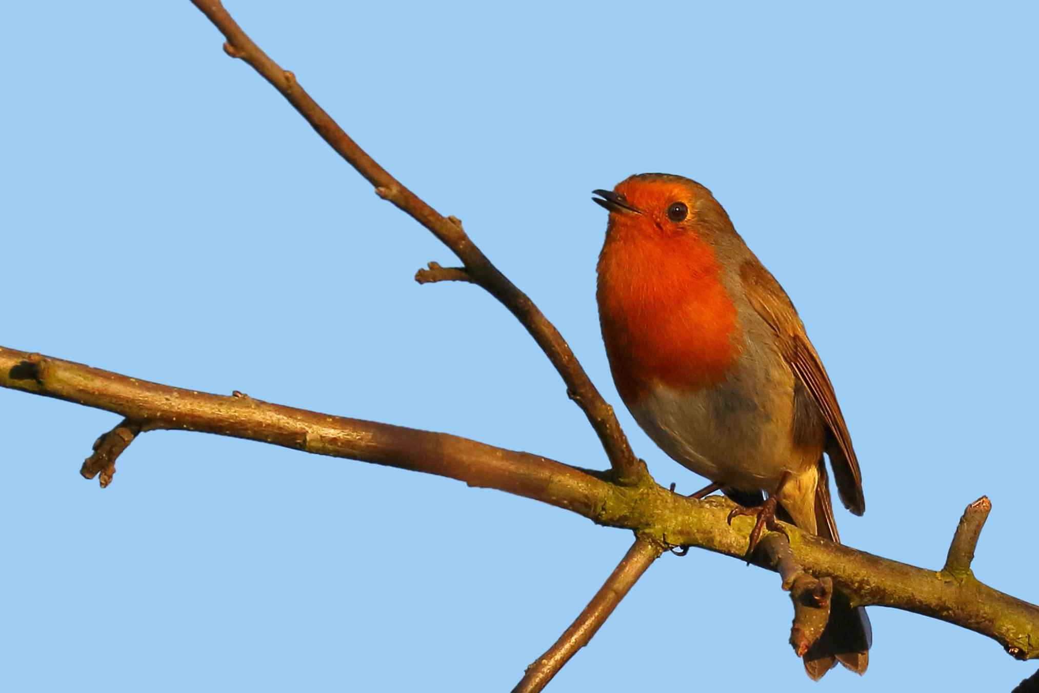 Robin Red Breast in Tree