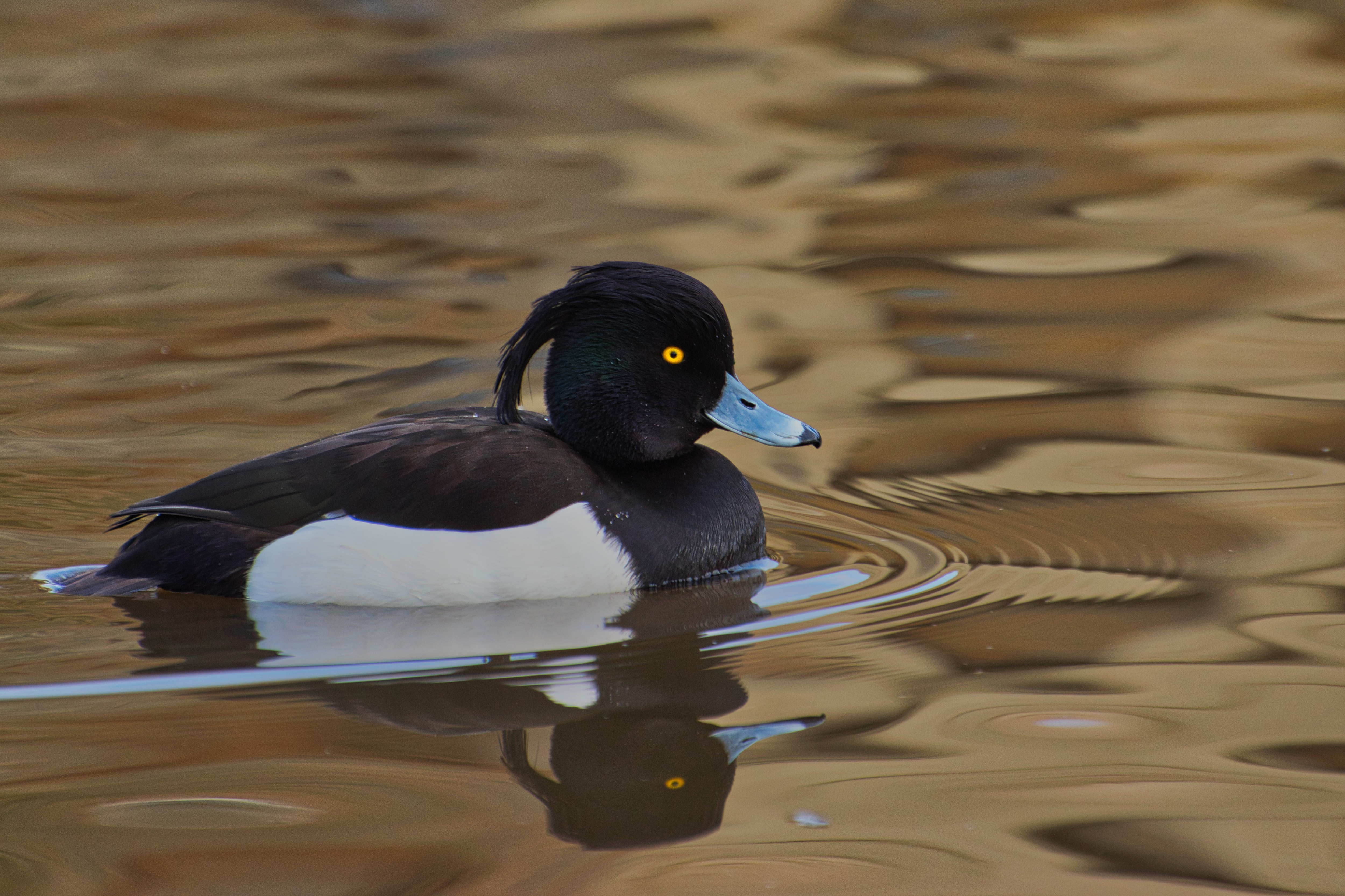 015-Tufted Duck(Male)