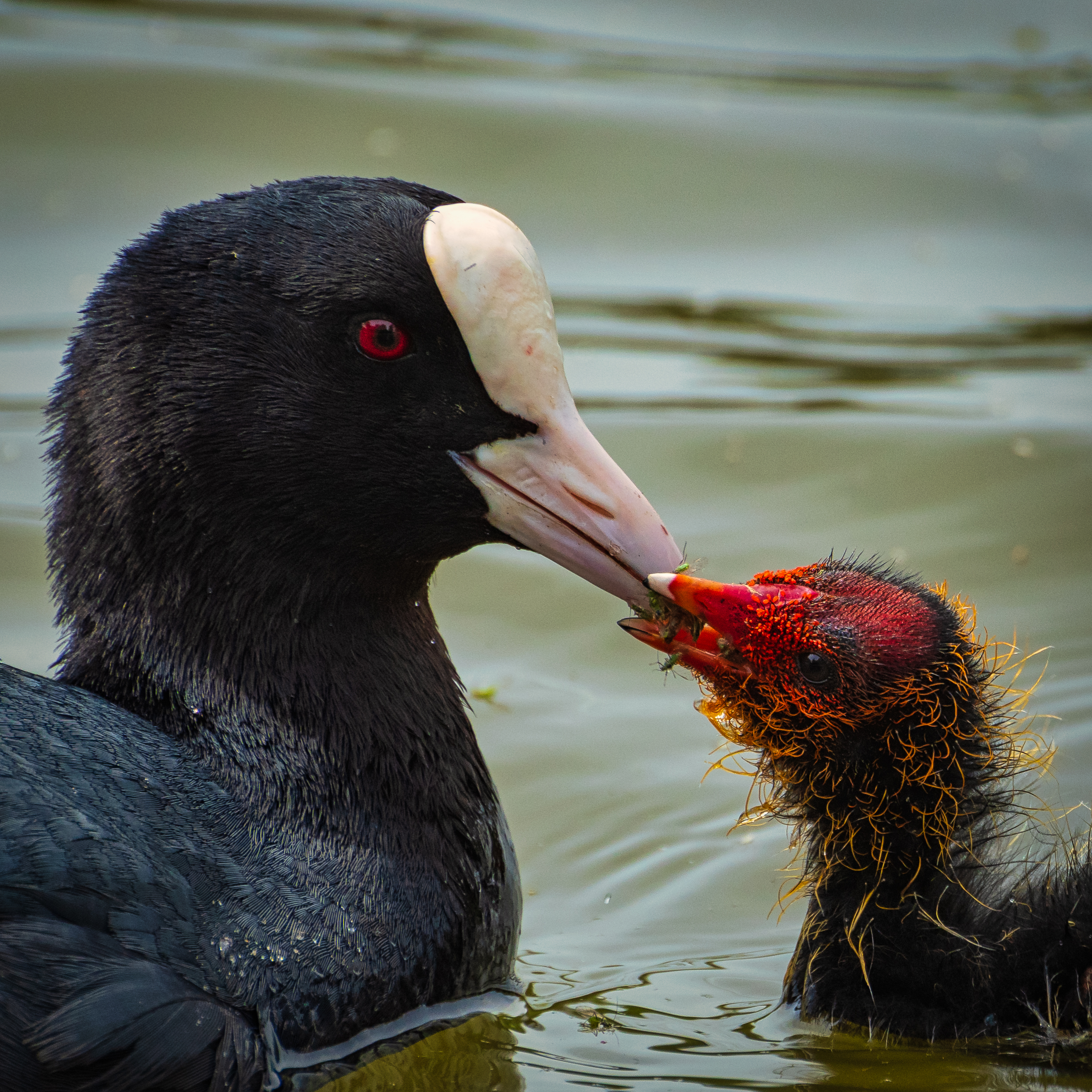 Adult Coot Feeding Chick
