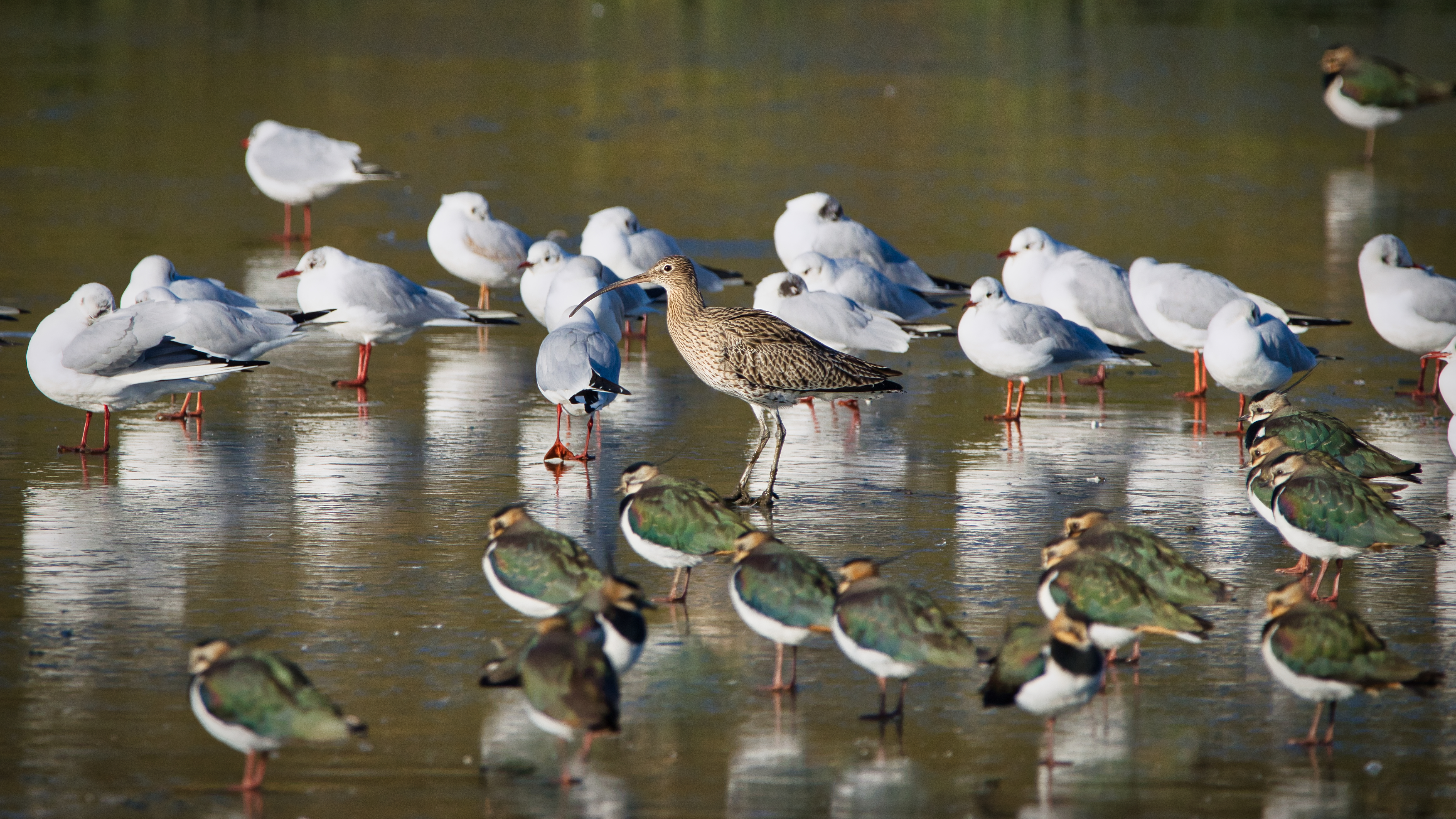 Curlew Amongst the Gulls and Lapwings
