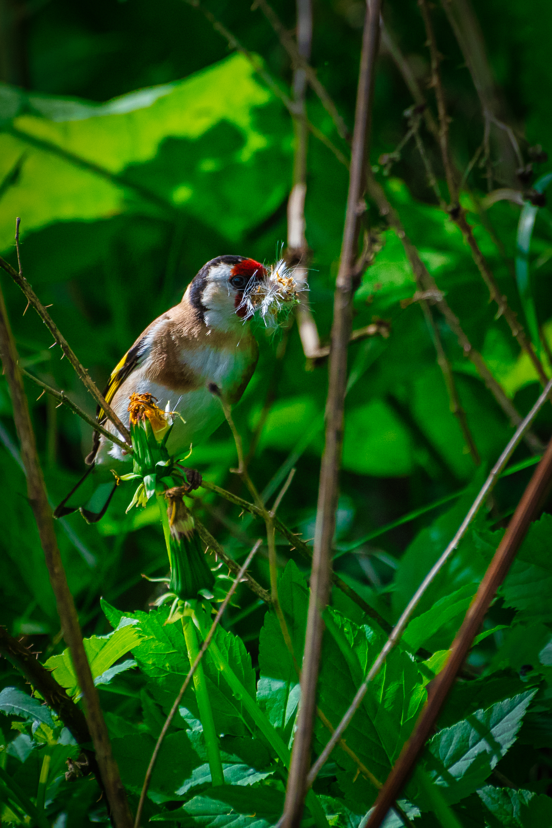 Goldfinch Collecting Nest Material
