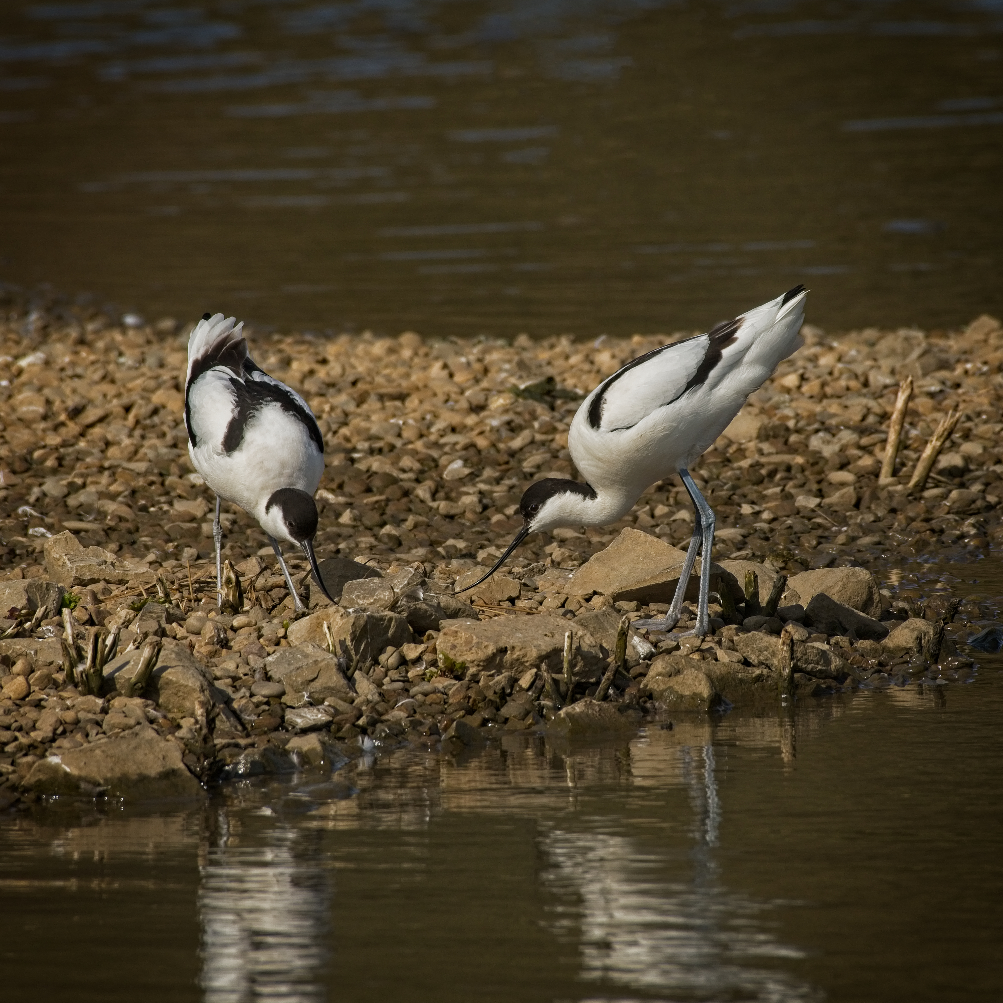 Pair of Avocets
