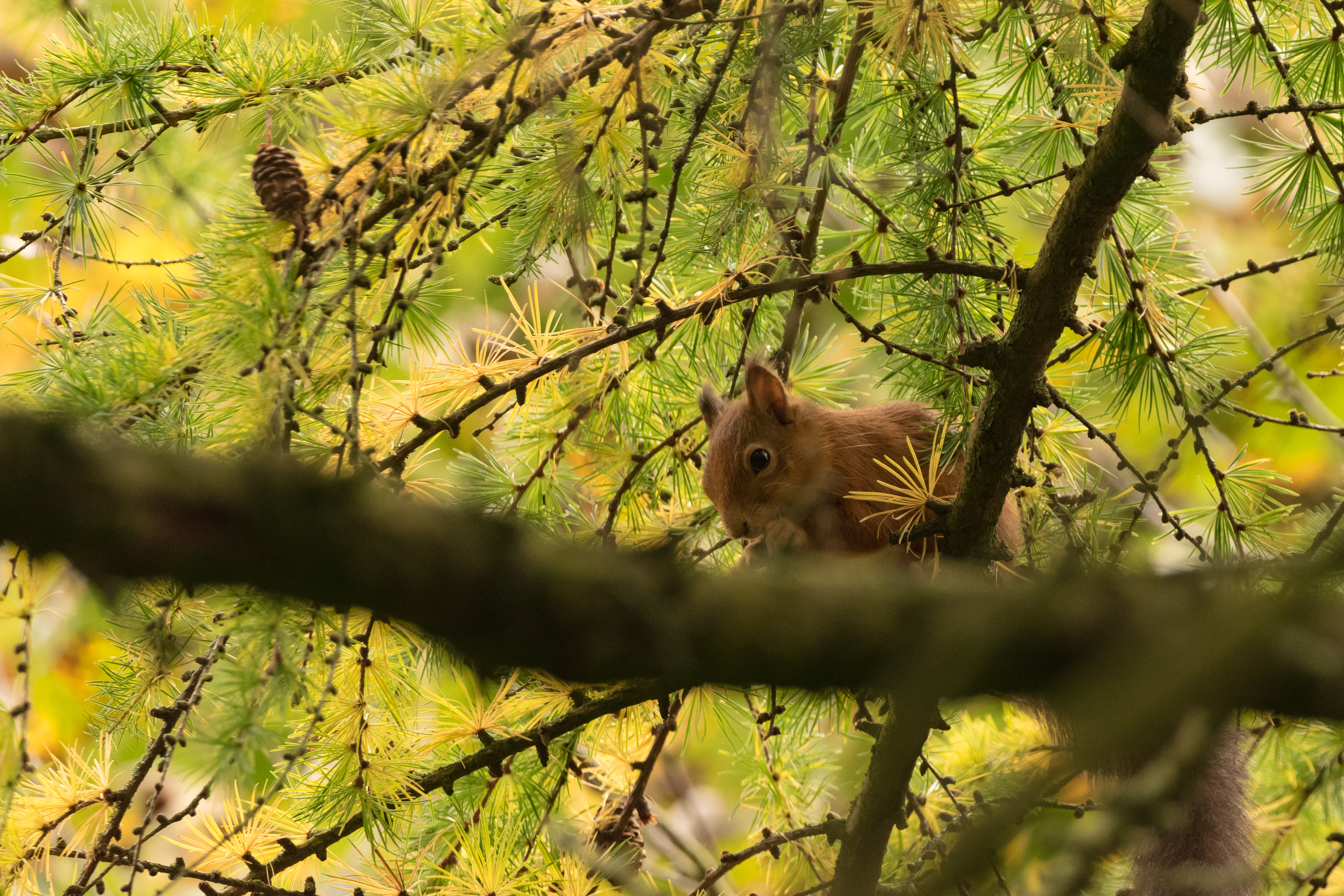 Red Squirrel Amongst the Branches