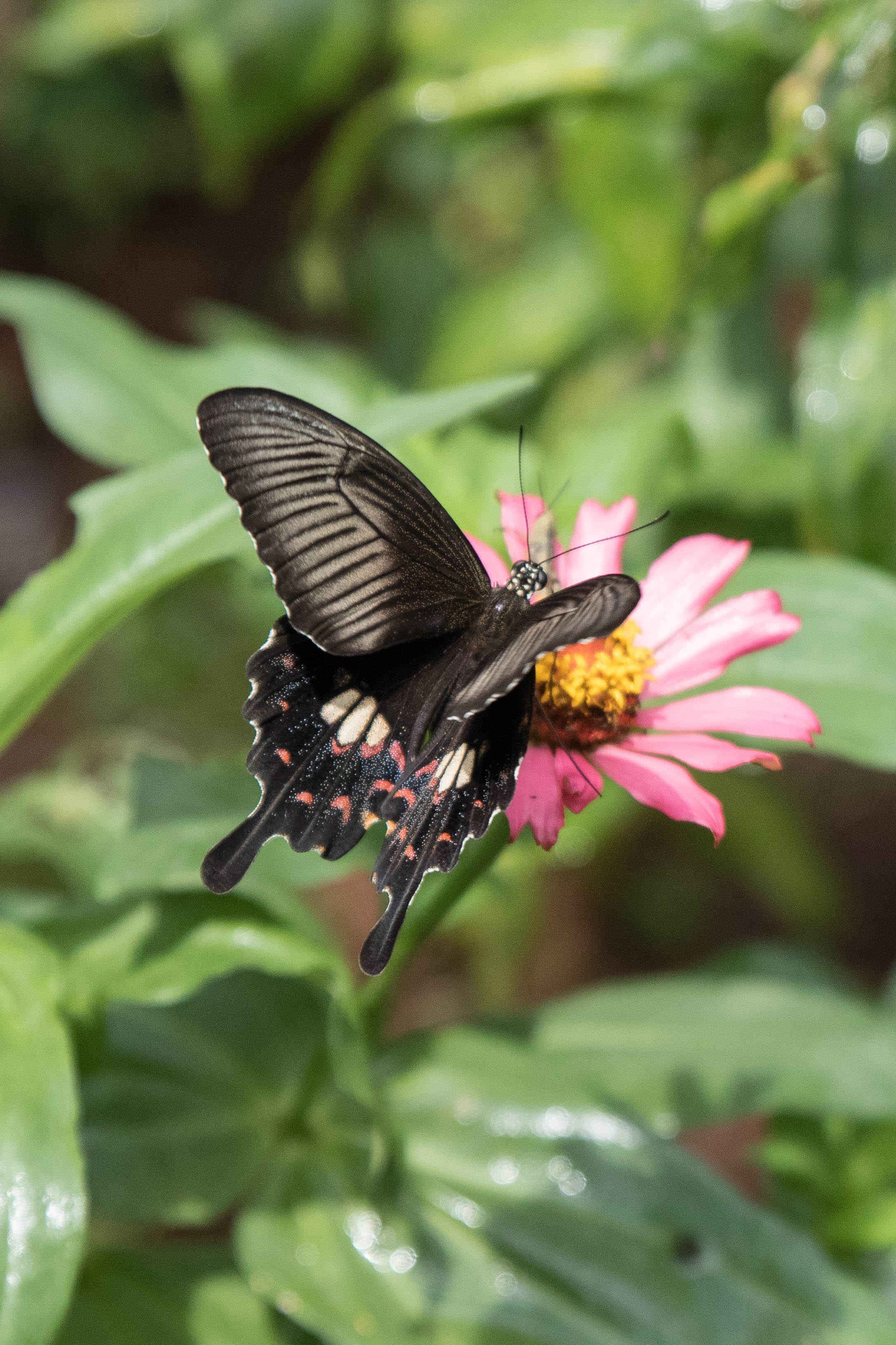 Black butterfliy on a pink flower