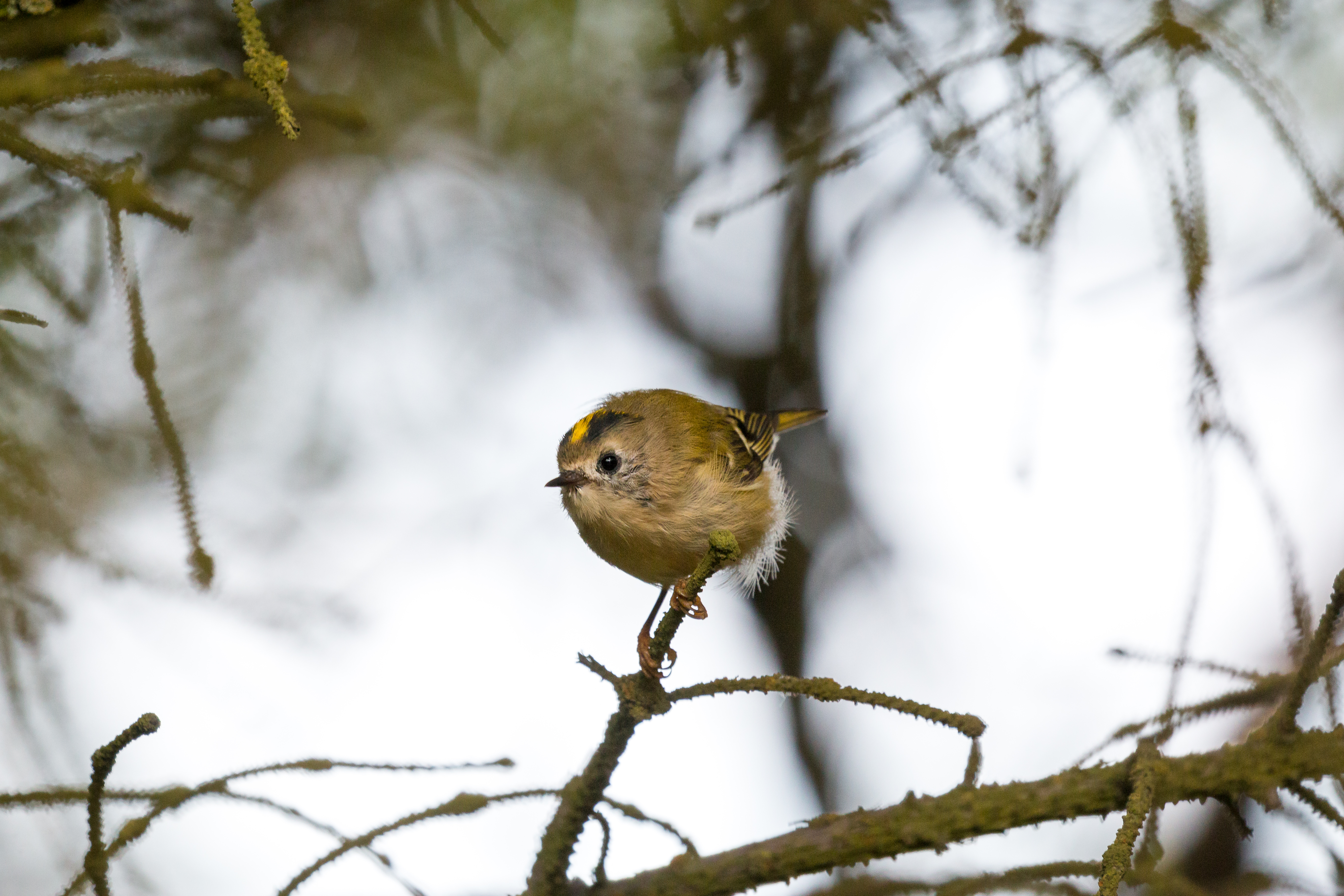 Small Goldcrest sitting on a branch.