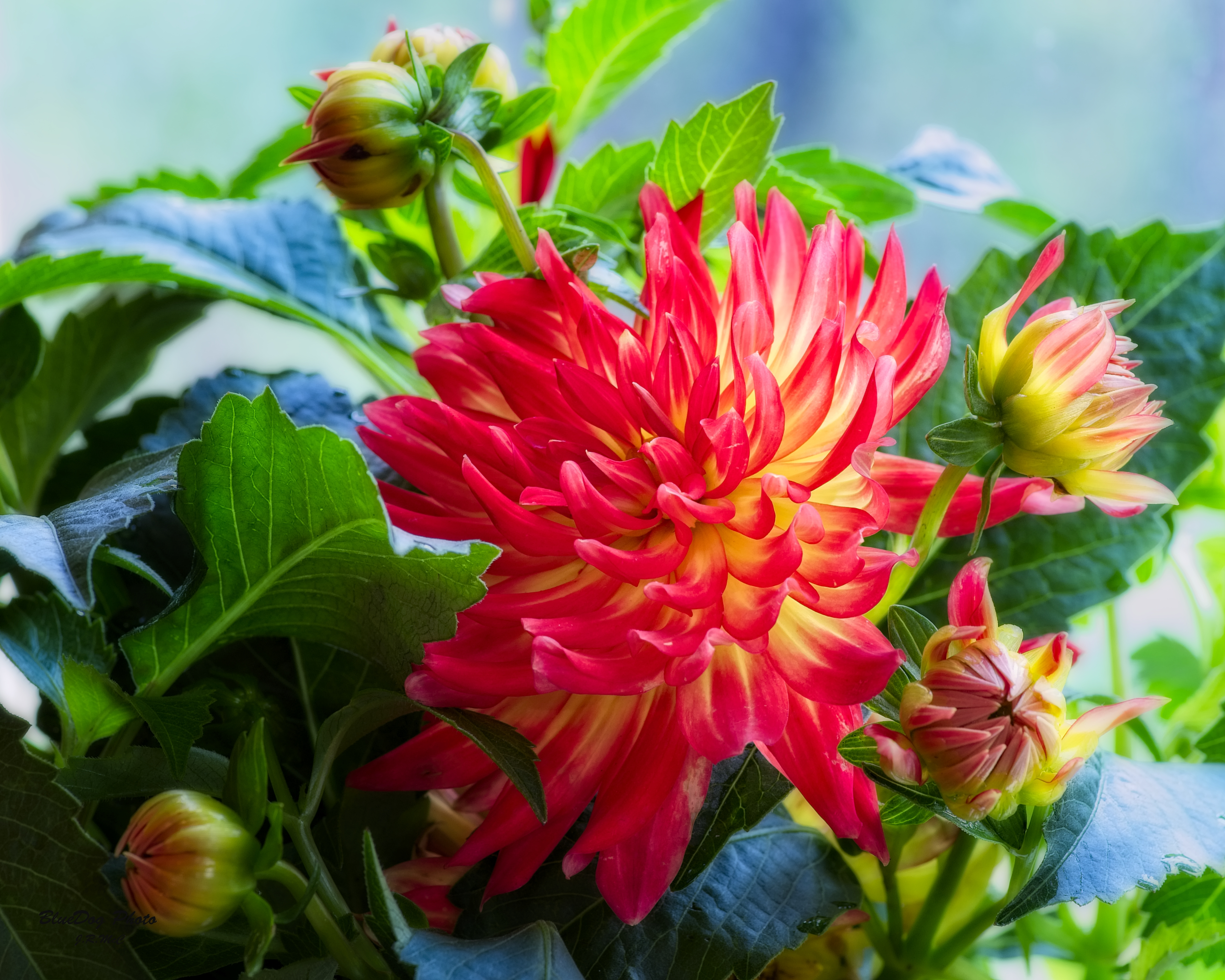 dahlia-orange bicolor 03-03 2019.jpg