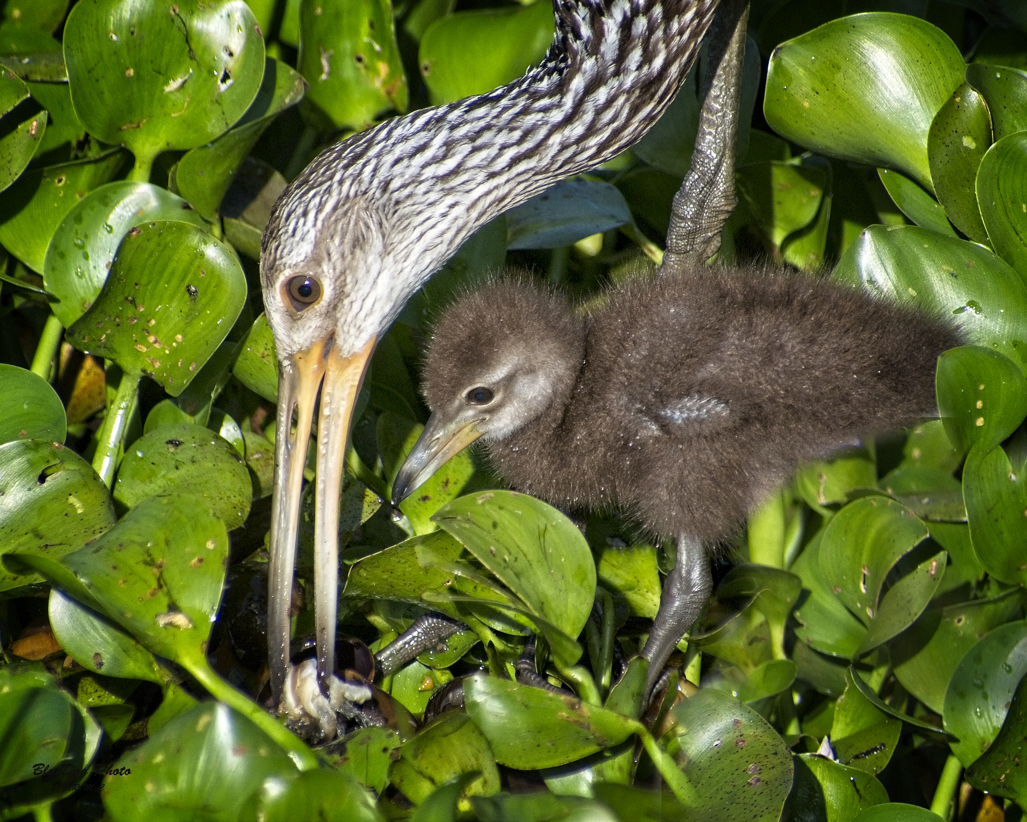 mother and baby limpkin 04-03 2019.jpg