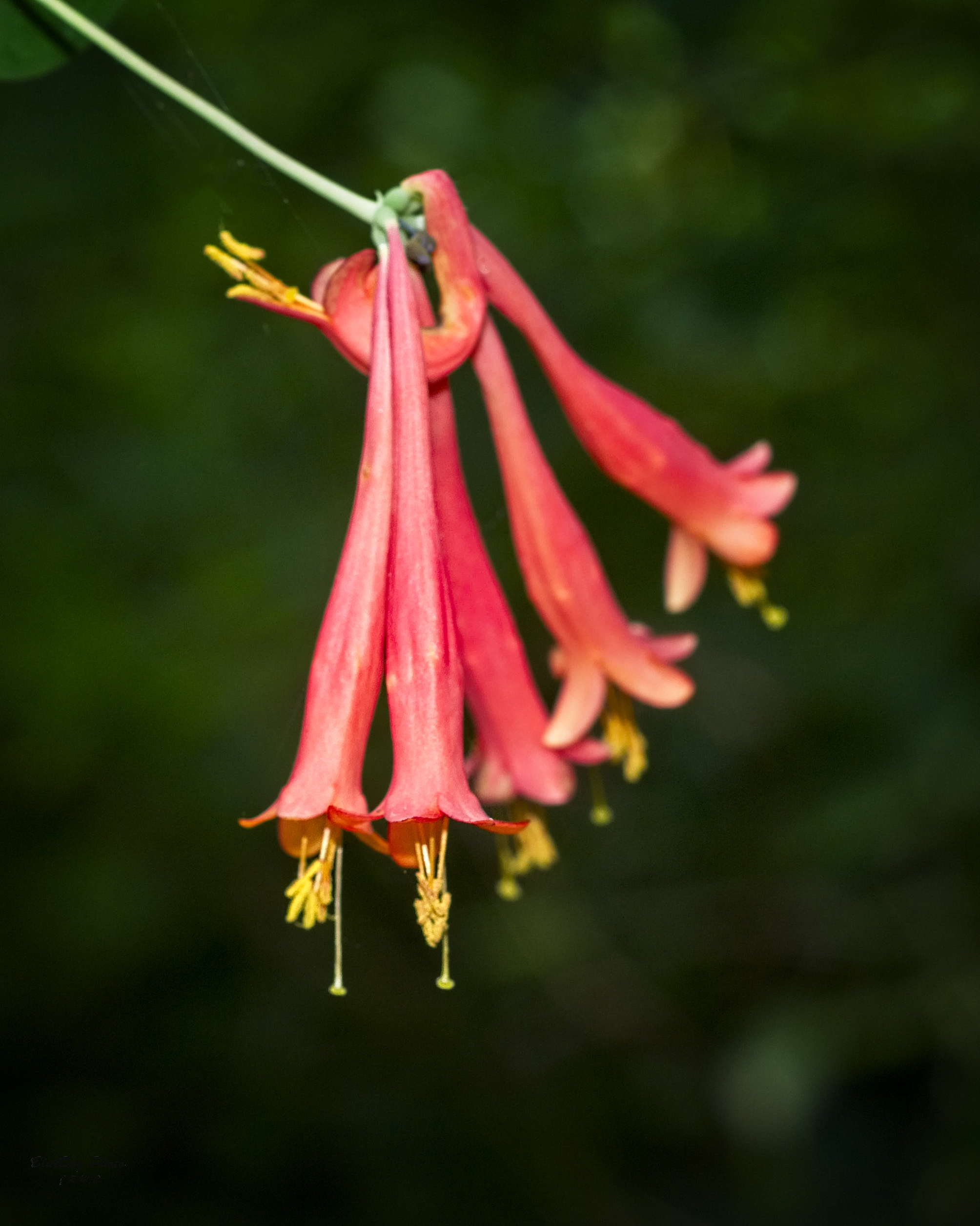 red honeysuckle flower 05-13 2019.jpg