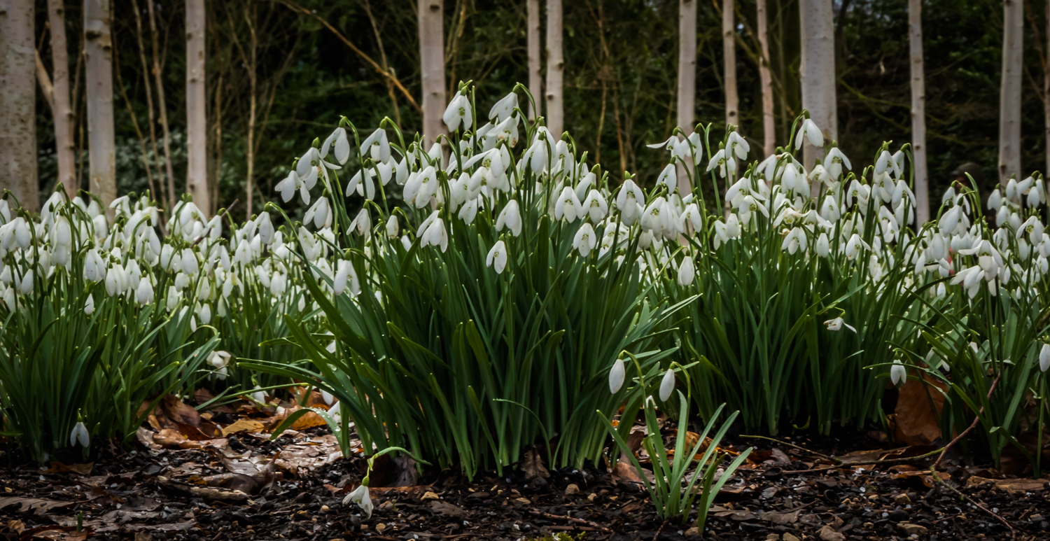 The Winter Garden - snowdrops and birch trees